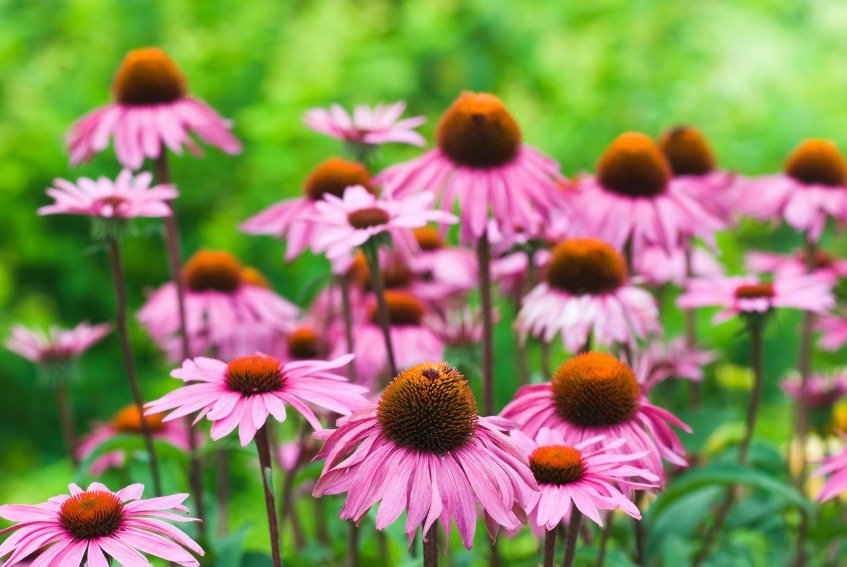 Purple Coneflower Fall