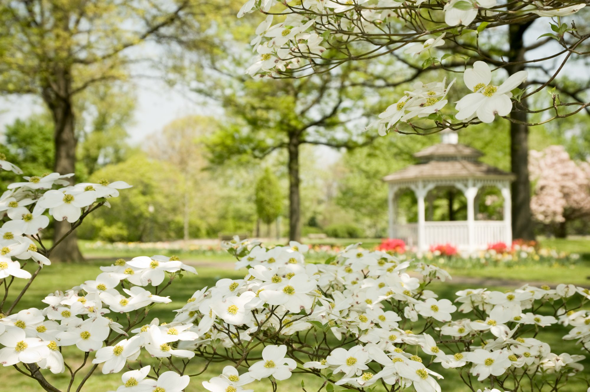 The Flowering Dogwood Tree Is a Southern Classic - Southern Living
