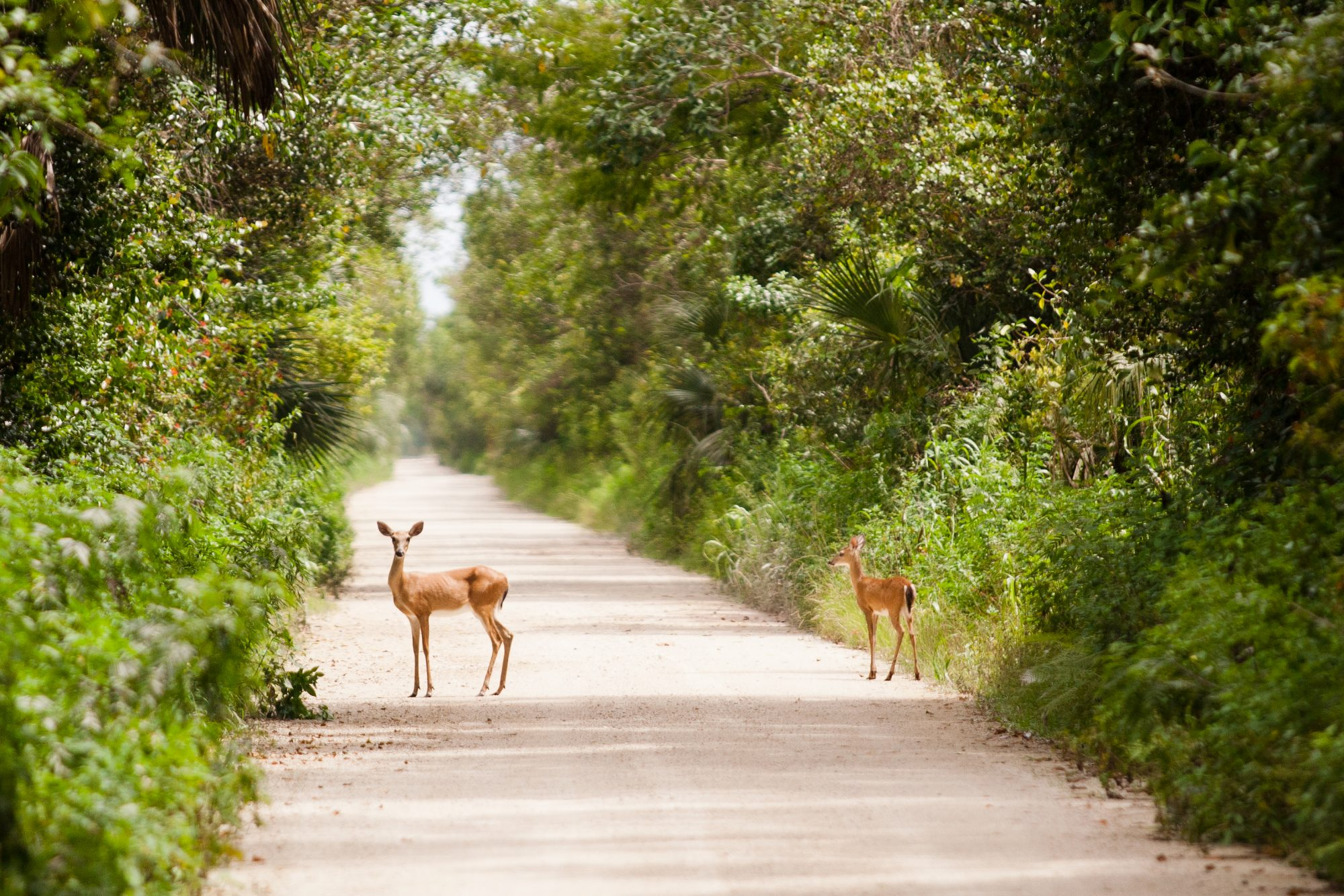 Small Florida Key Deer on Road