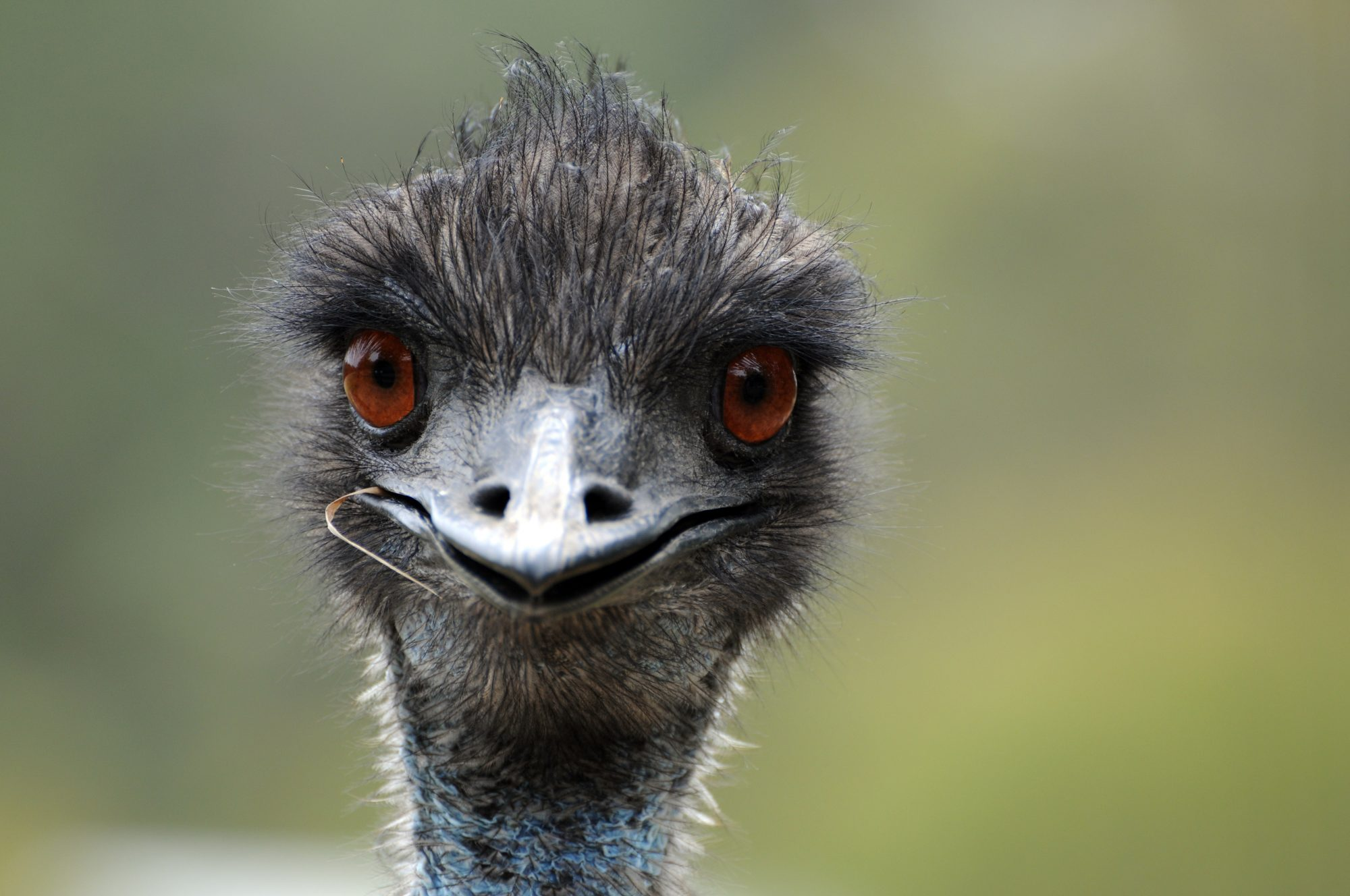 Have You Seen This Bird? An Emu Is On the Run in North Carolina