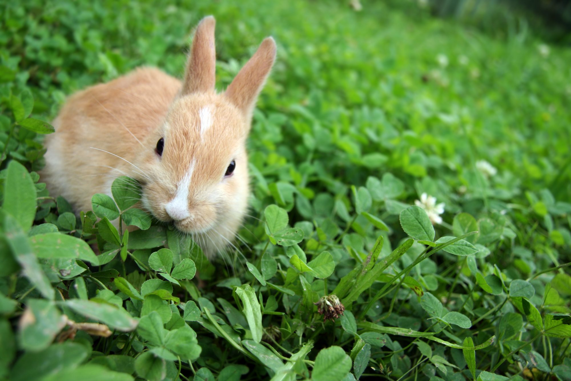 Rabbit Eating Clovers