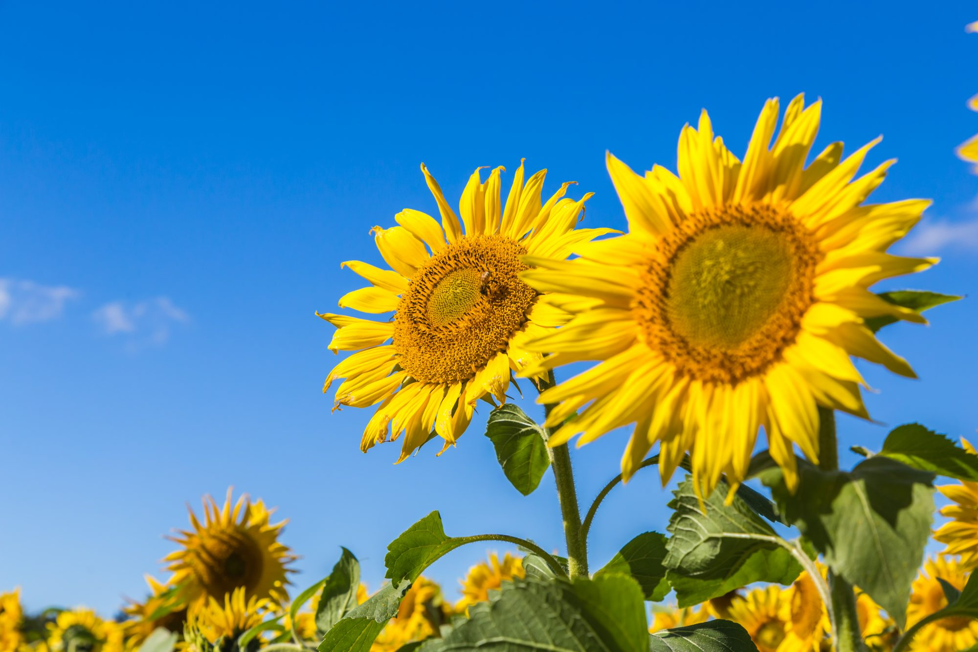 Heat Wave Causing Sunflowers to Bloom Ahead of Schedule This Year