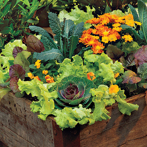 Lettuce Container Garden, growing lettuce