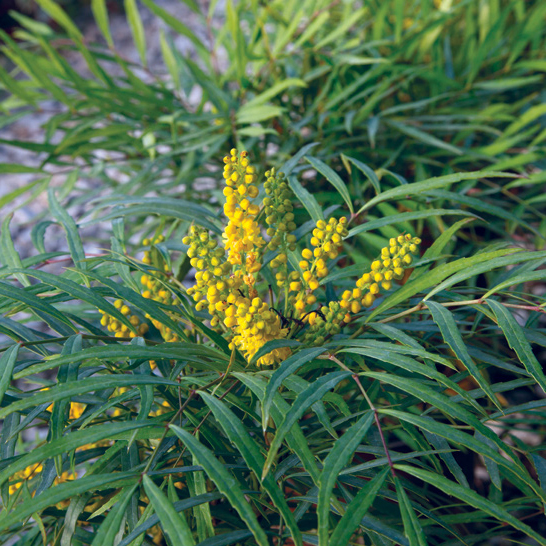 'Soft Caress' Mahonia plant for front yard