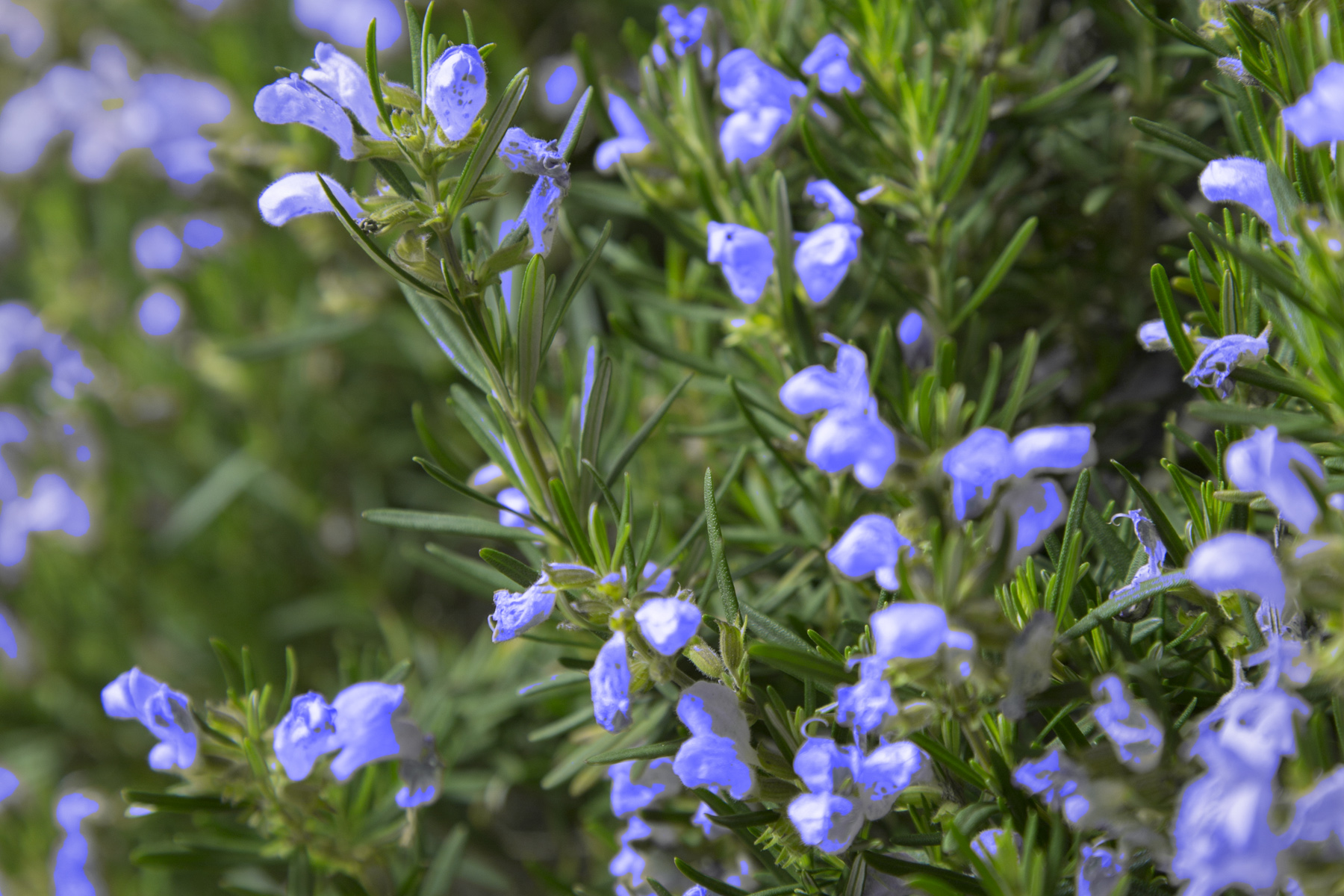 'Chef's Choice' Rosemary plant for front yard