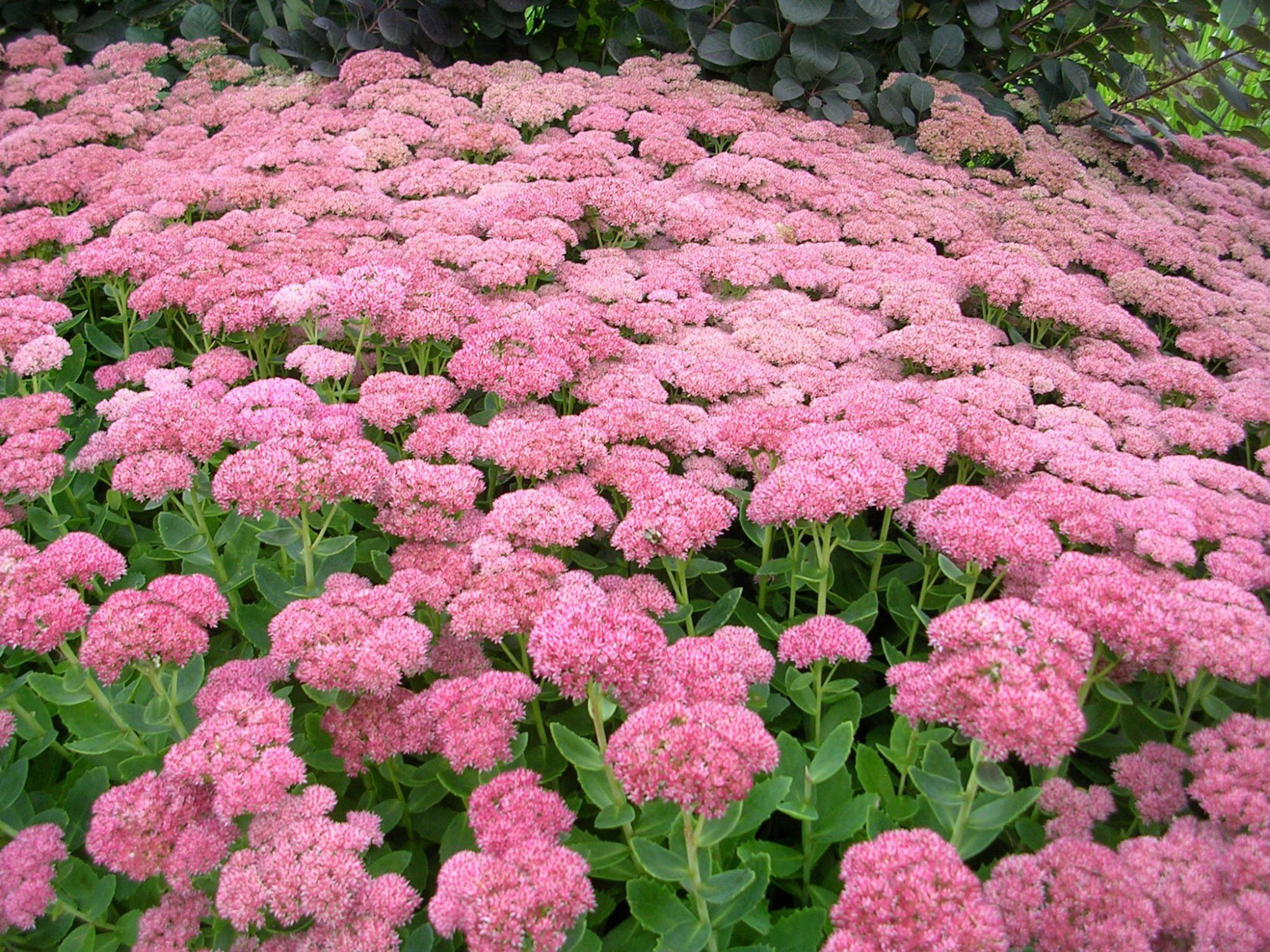 Sedum Fall Flower