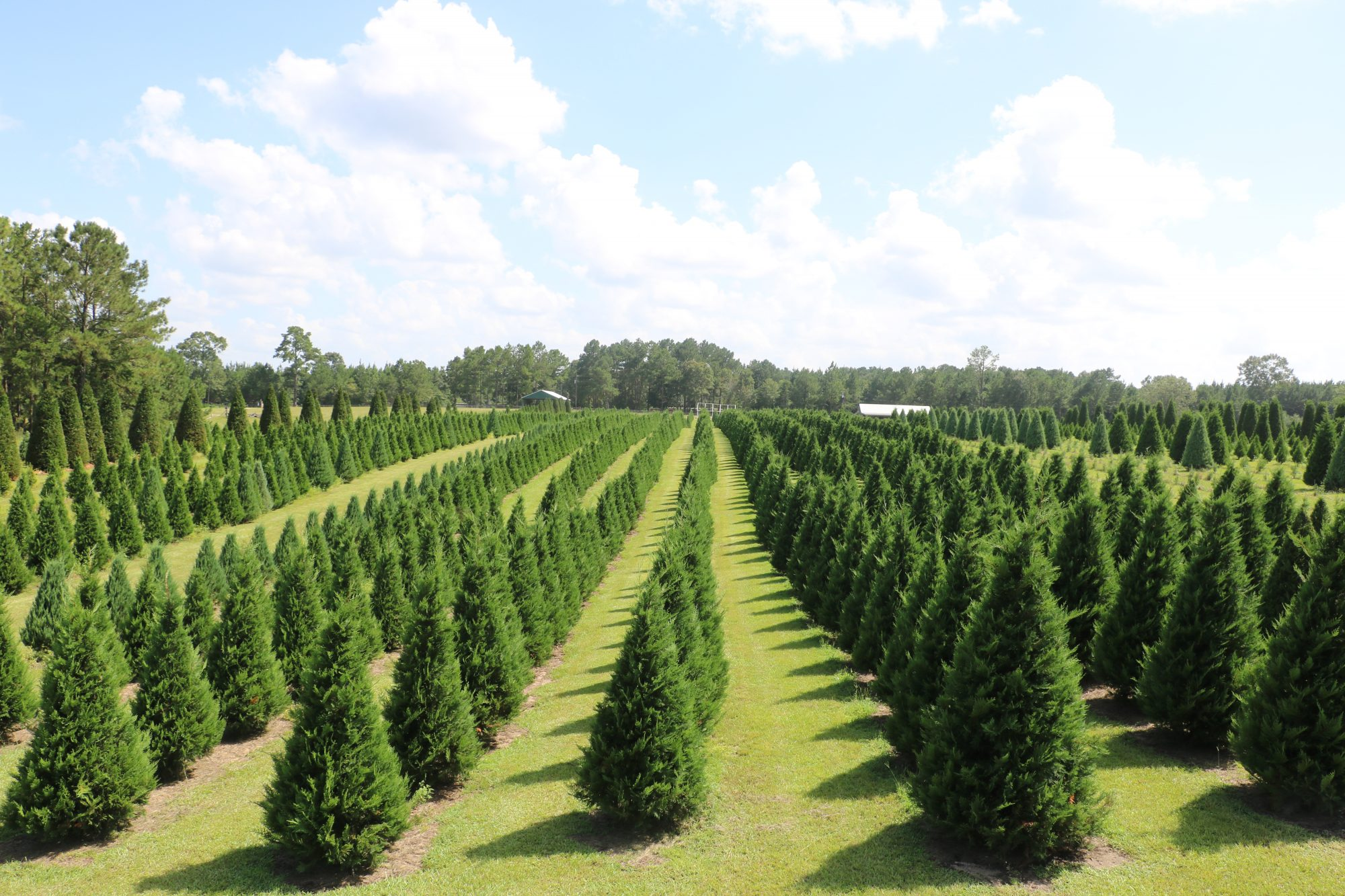 24 Best Christmas Tree Farms In The South