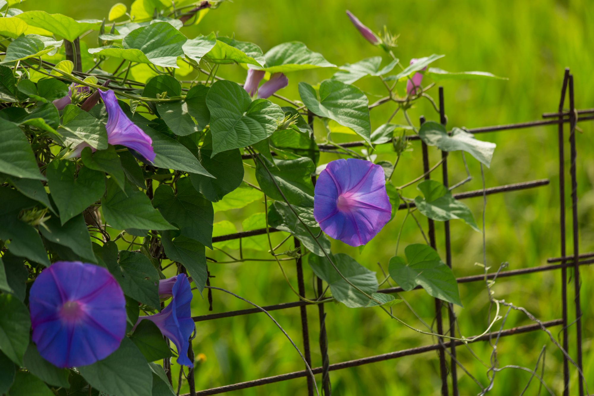 Morning Glories Will Add a Dose of Cheer to Your Garden