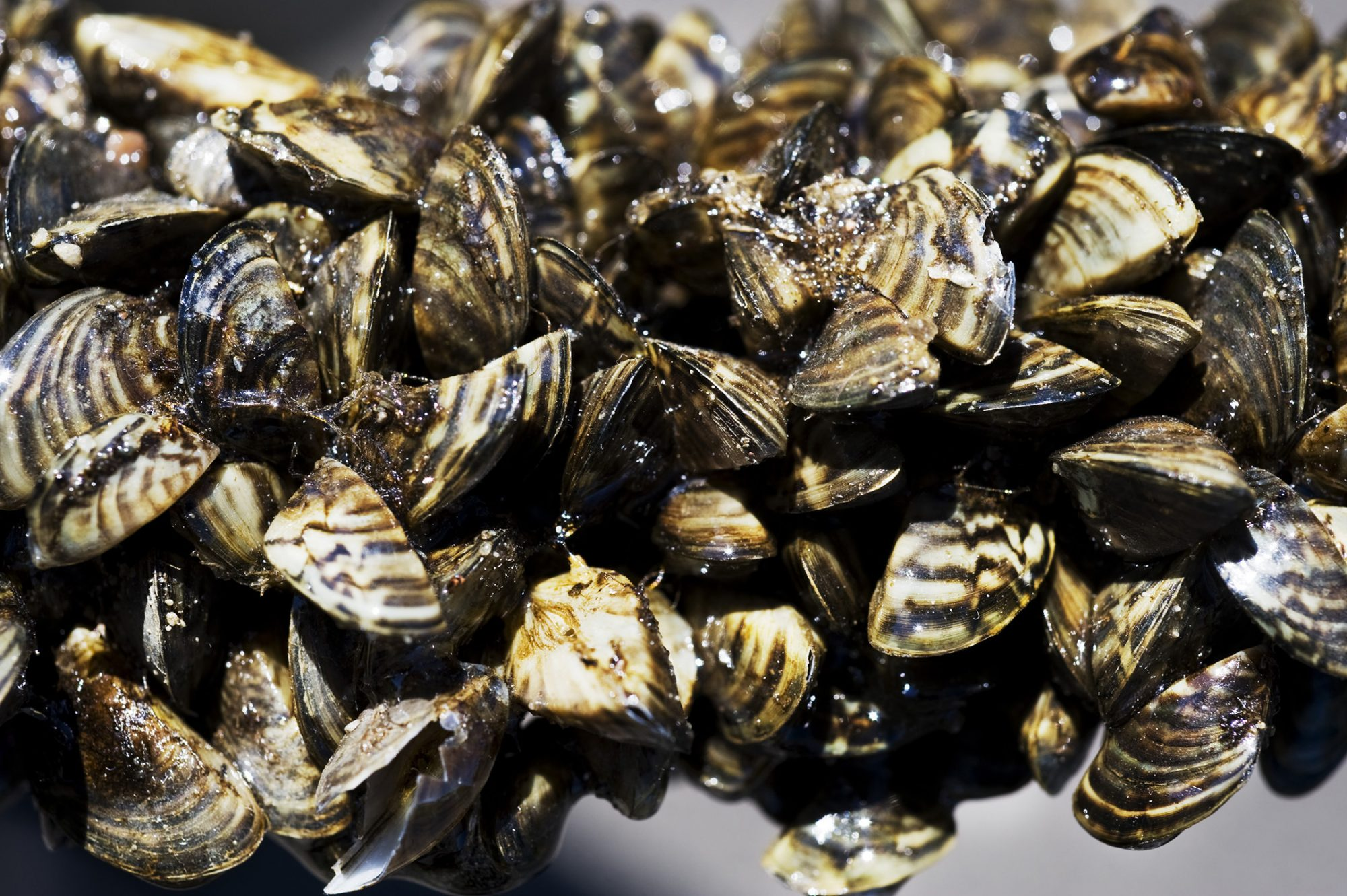 zebra mussels close up