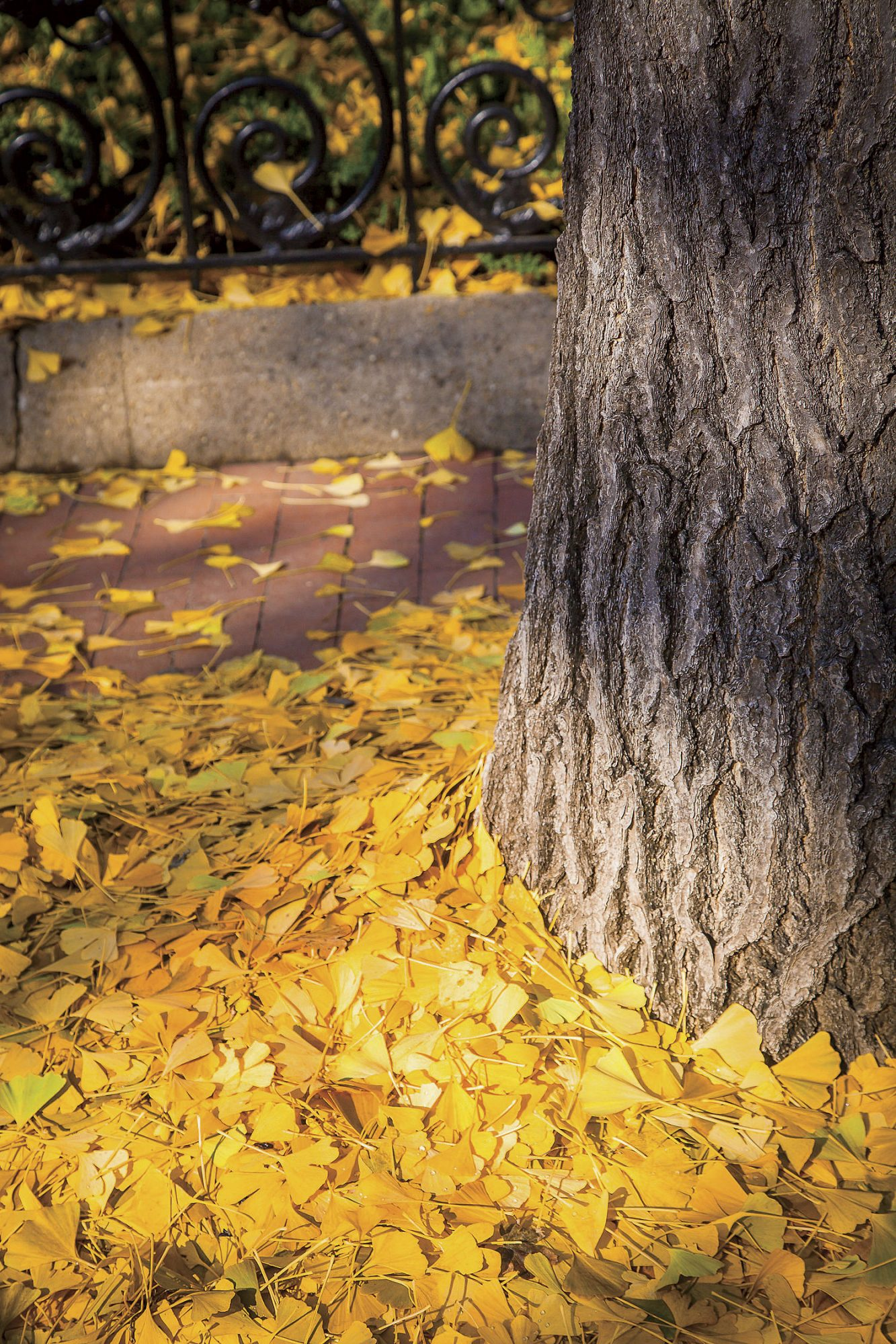 Ginkgo Leaves Against Tree Trunk
