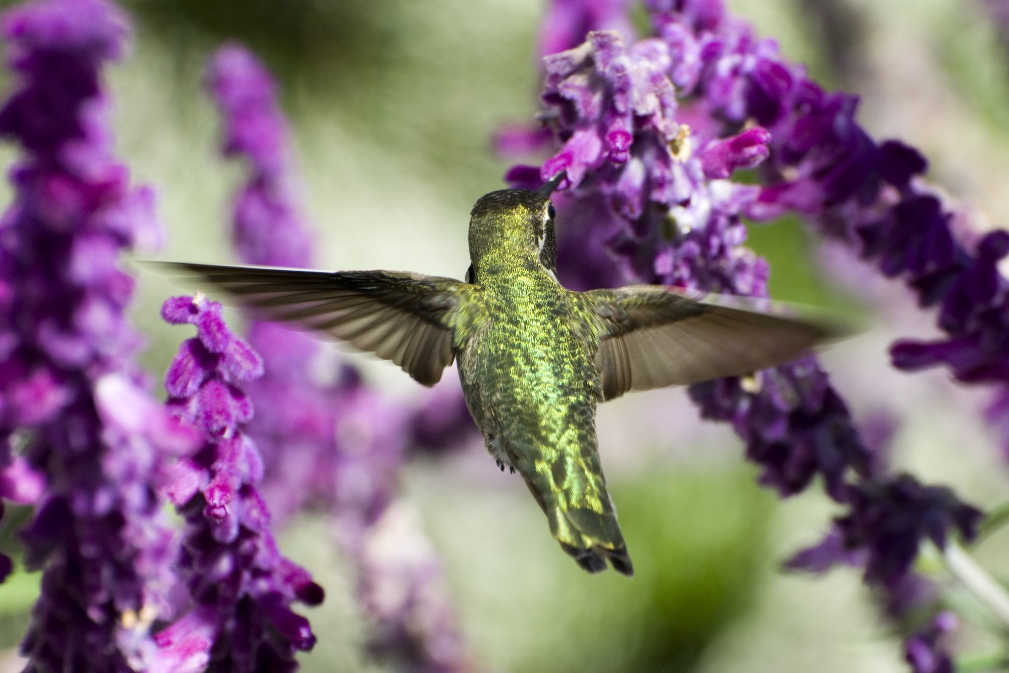 Hummingbird on Flowers