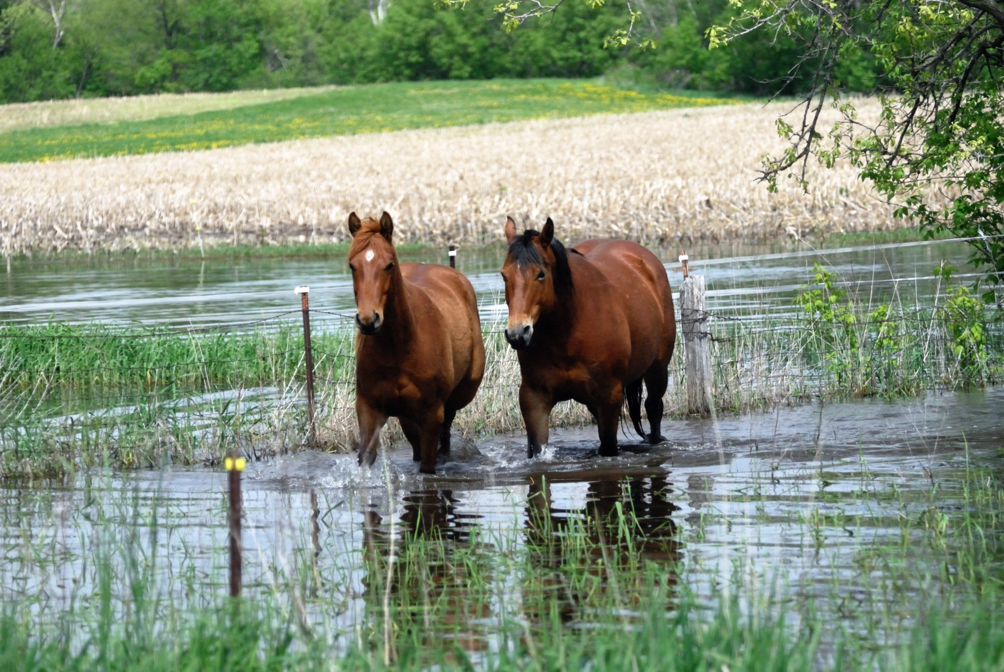 Horse in Floodwaters