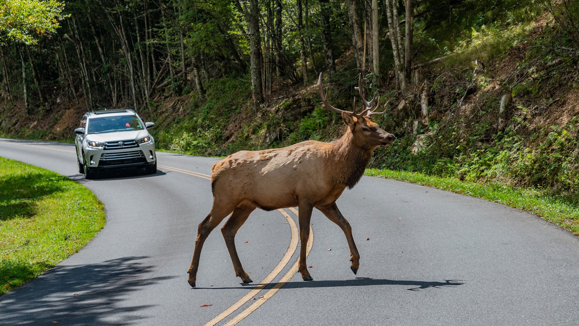Massive Elk Are Thriving in the Blue Ridge Parkway, but Please Don't Get Too Close