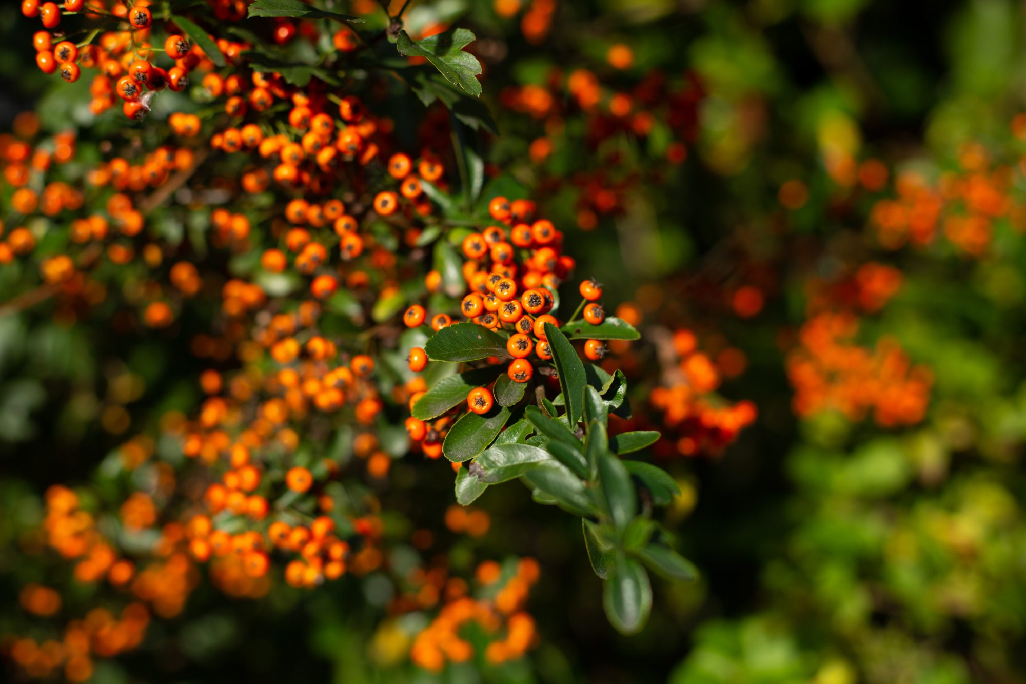 Why We Love Pyracantha
