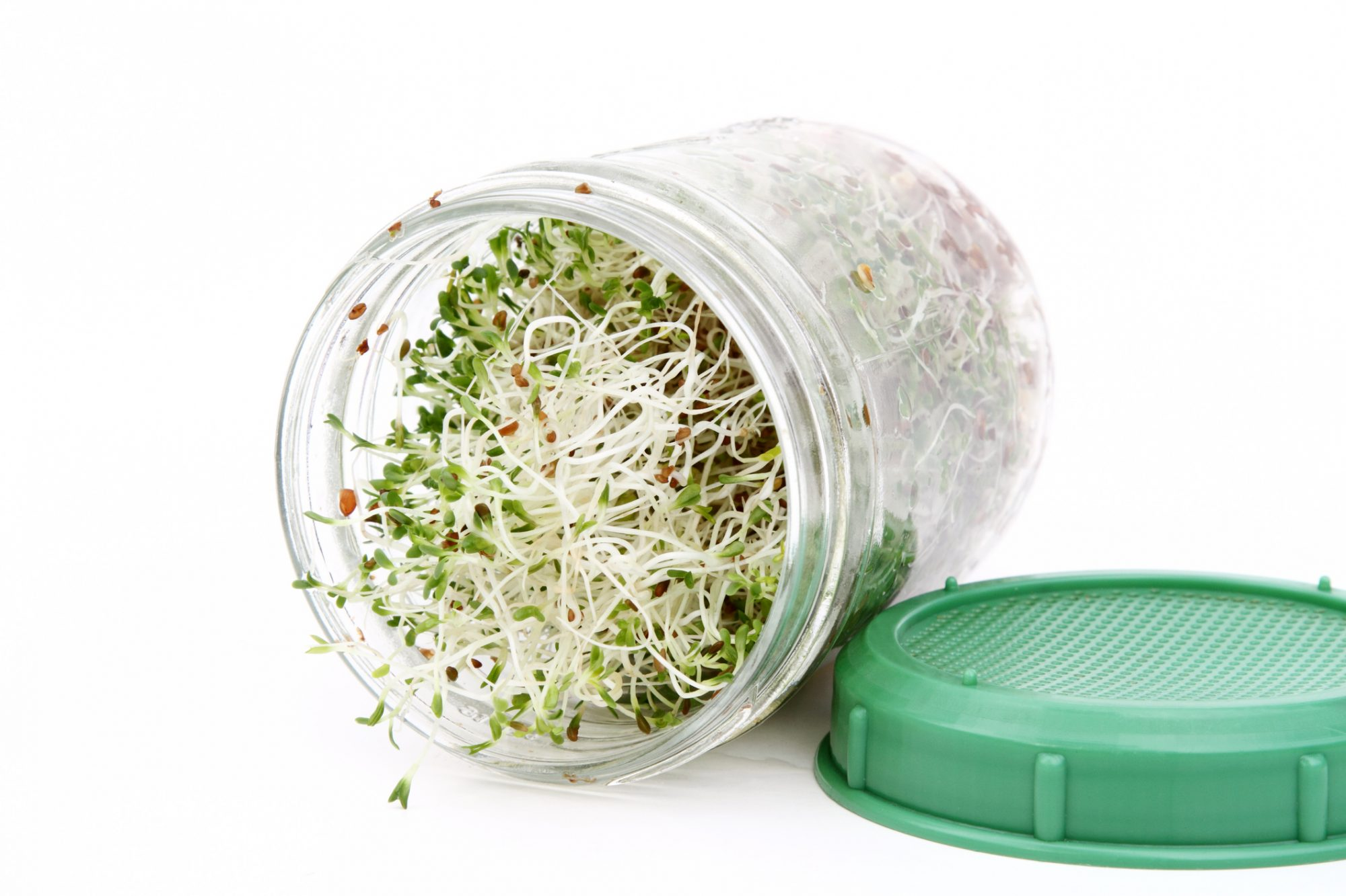 Alfalfa Sprouts Growing in Jar