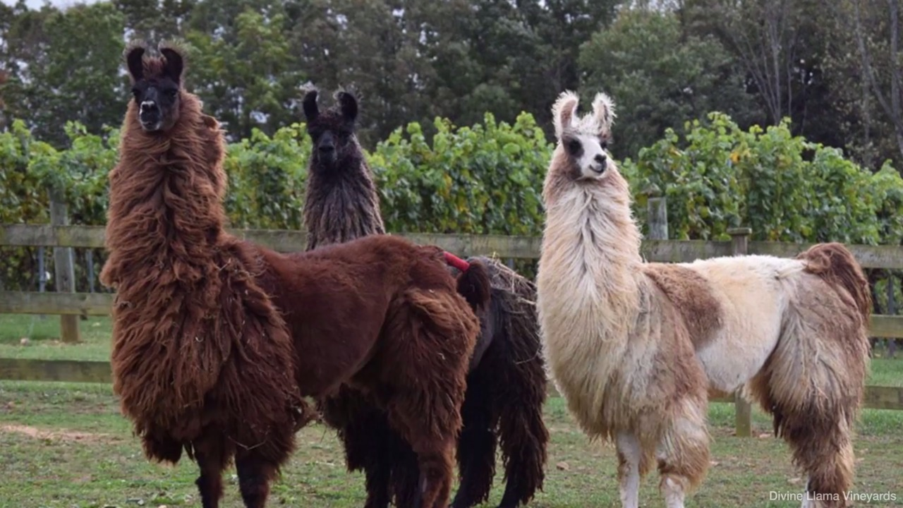 You Can Hike with Llamas and Drink Wine at This North Carolina Vineyard