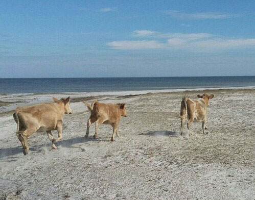 Castaway Cows Swept up by Hurricane Dorian Return Home