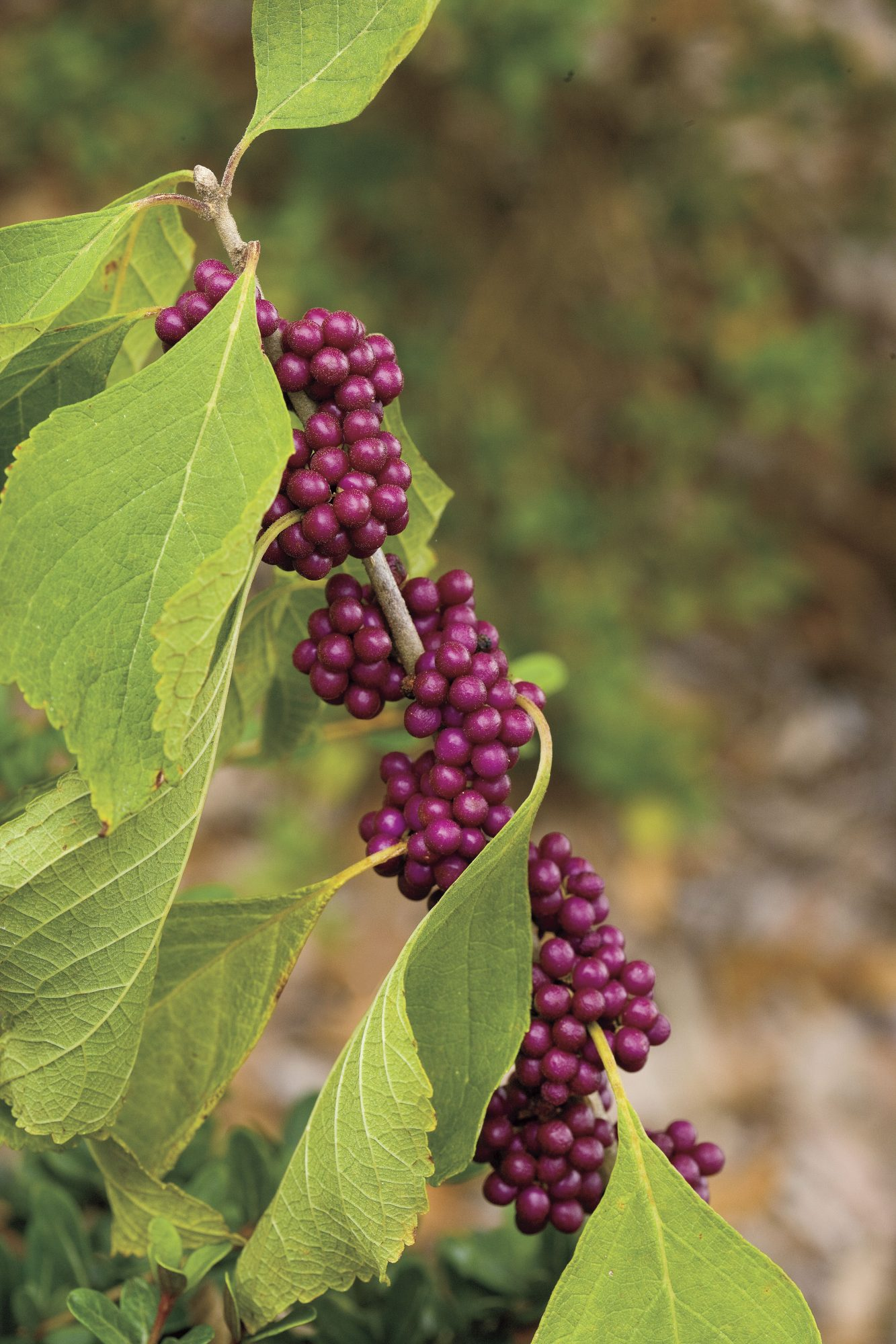 American BeautyBerry with Leaves