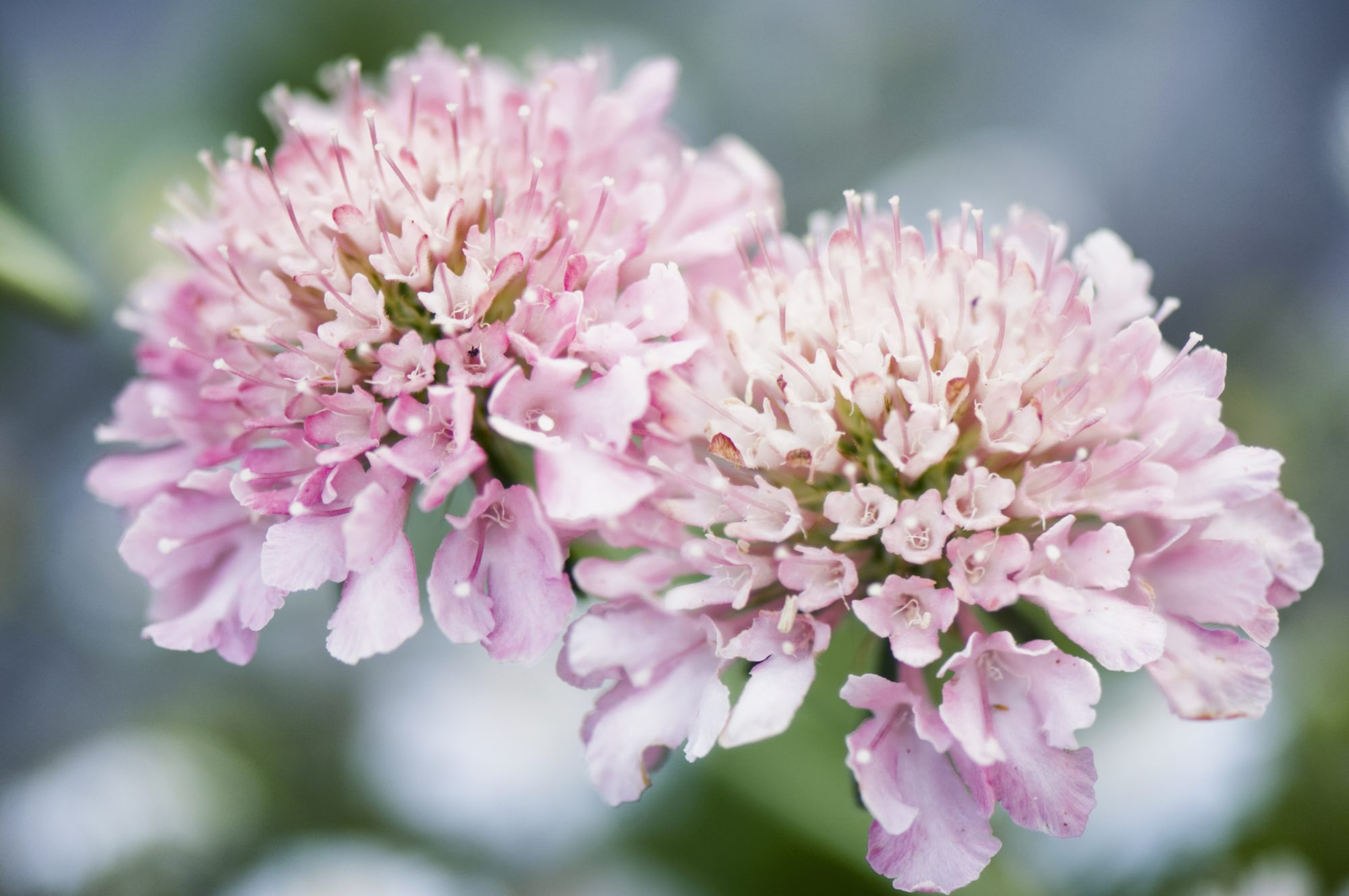 How To Plant Pincushion Flowers