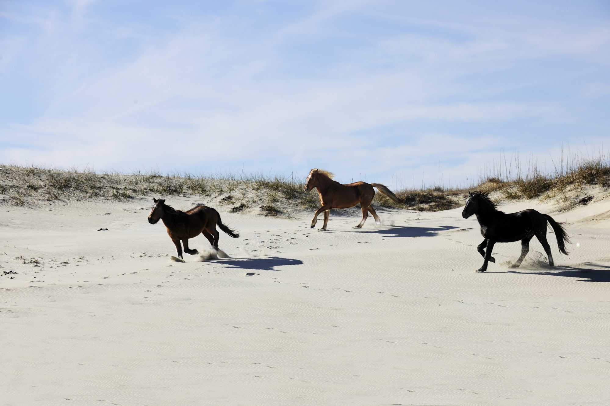 Alert! The Pony Patrol is Looking for Volunteers to Work with Wild Horses on the Outer Banks