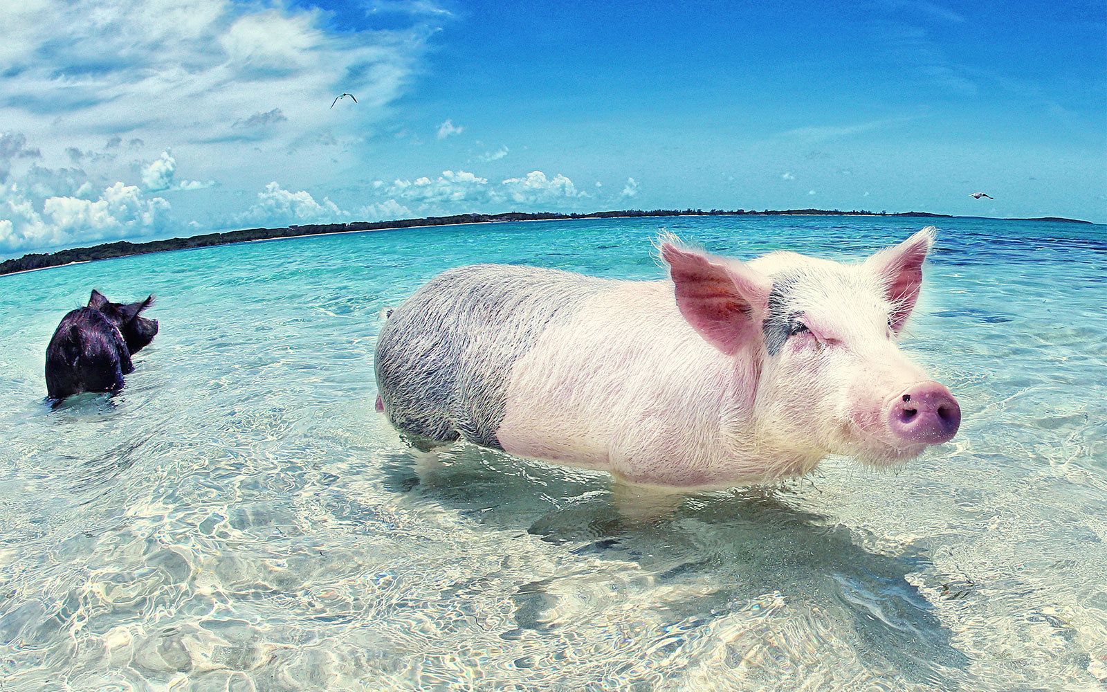 On The Bucket List Swimming With Pigs In Bahamas