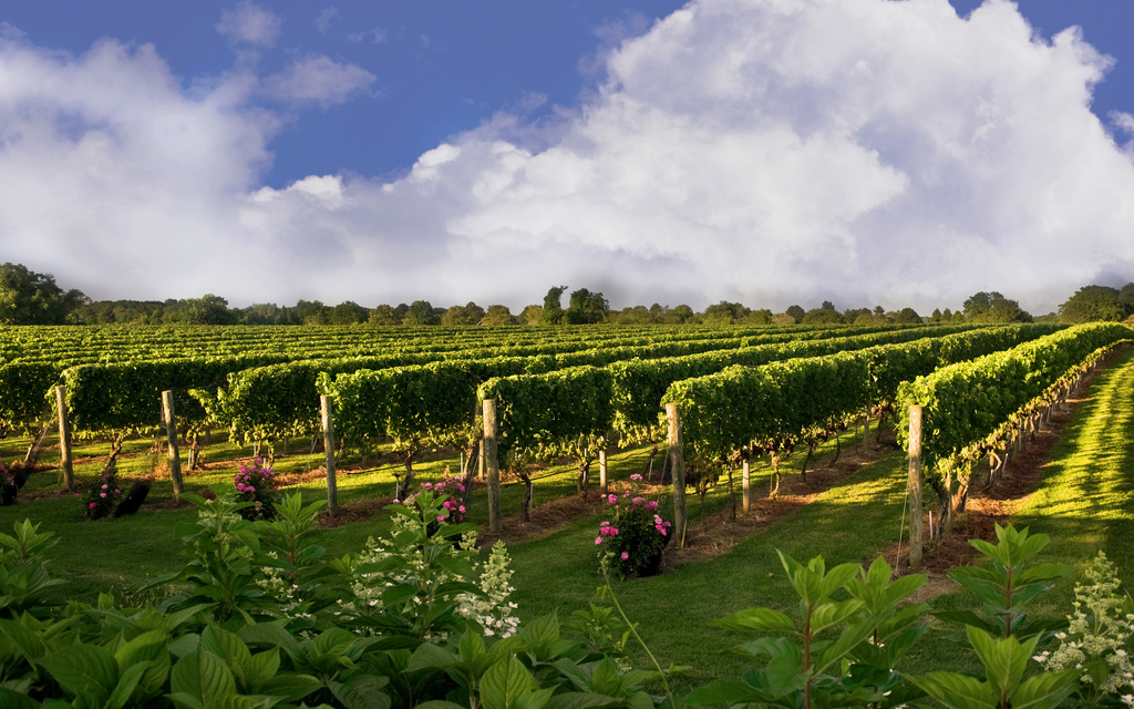 HAMPTONS0715-wolff-vineyard.jpg