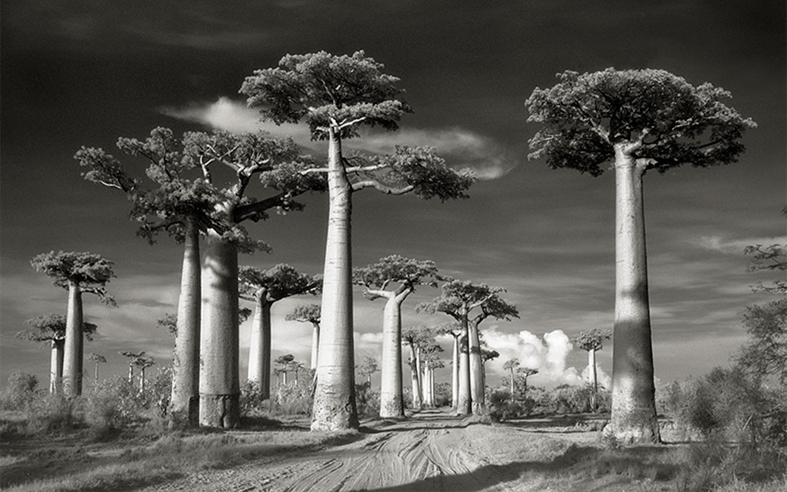 TREES0715-Avenue-of-the-Baobabs.jpg