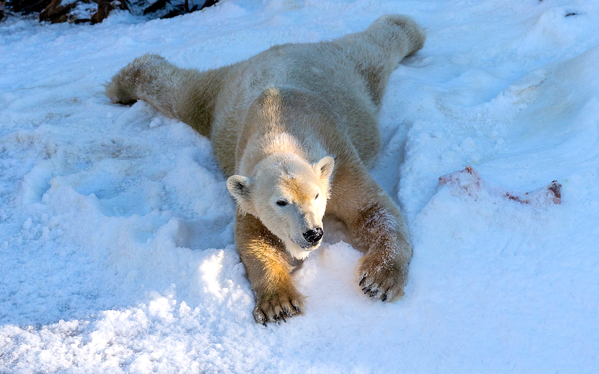 Polar bears San Diego Zoo Global © 2015