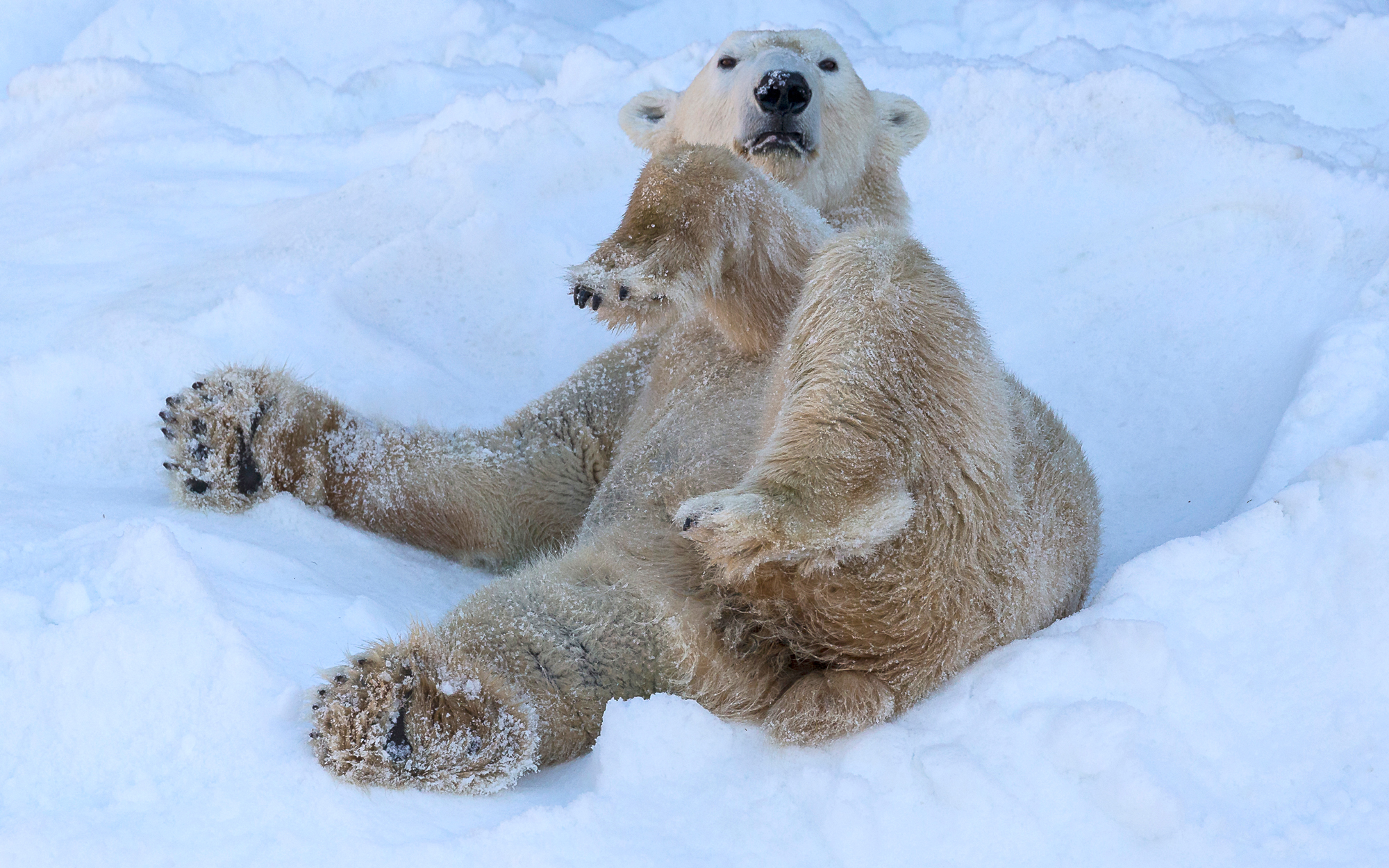 Polar Bears at the San Diego Zoo are Having a White Christmas