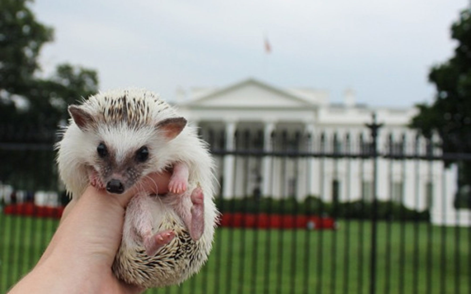 Meet Calico the Traveling Hedgehog