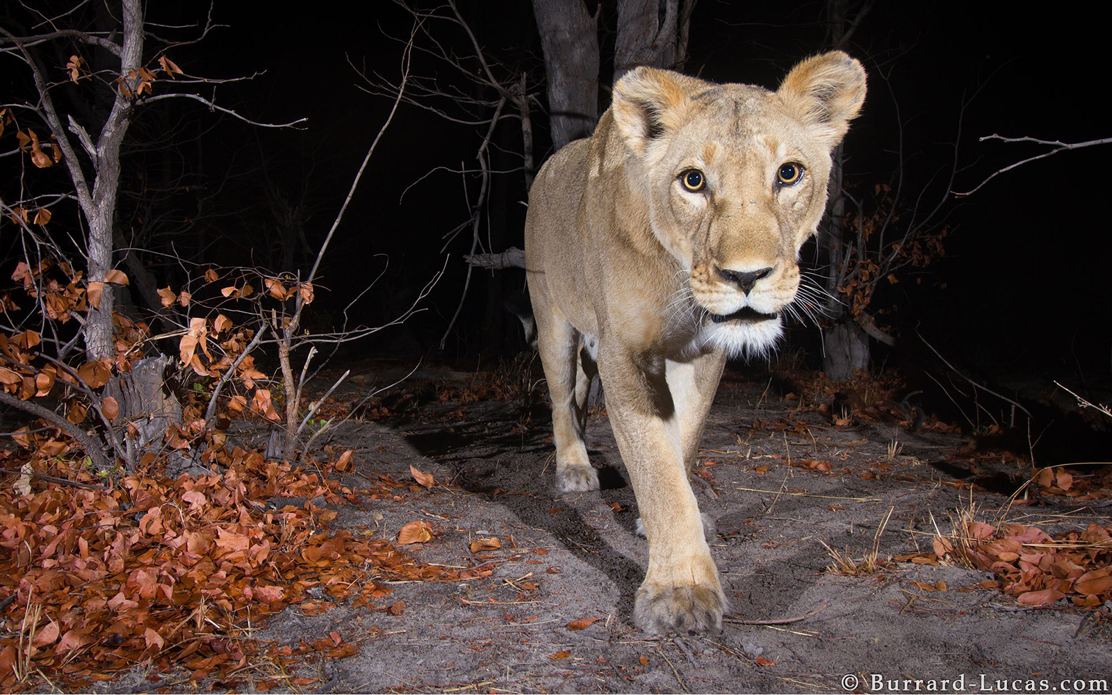 Camera trap image taken in the Zambezi Region of Namibia for WWF using a Camtraptions PIR motion sensor.