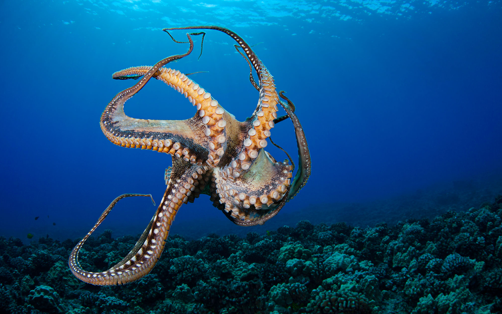 Octopus Makes Brazen Escaped From New Zealand Aquarium