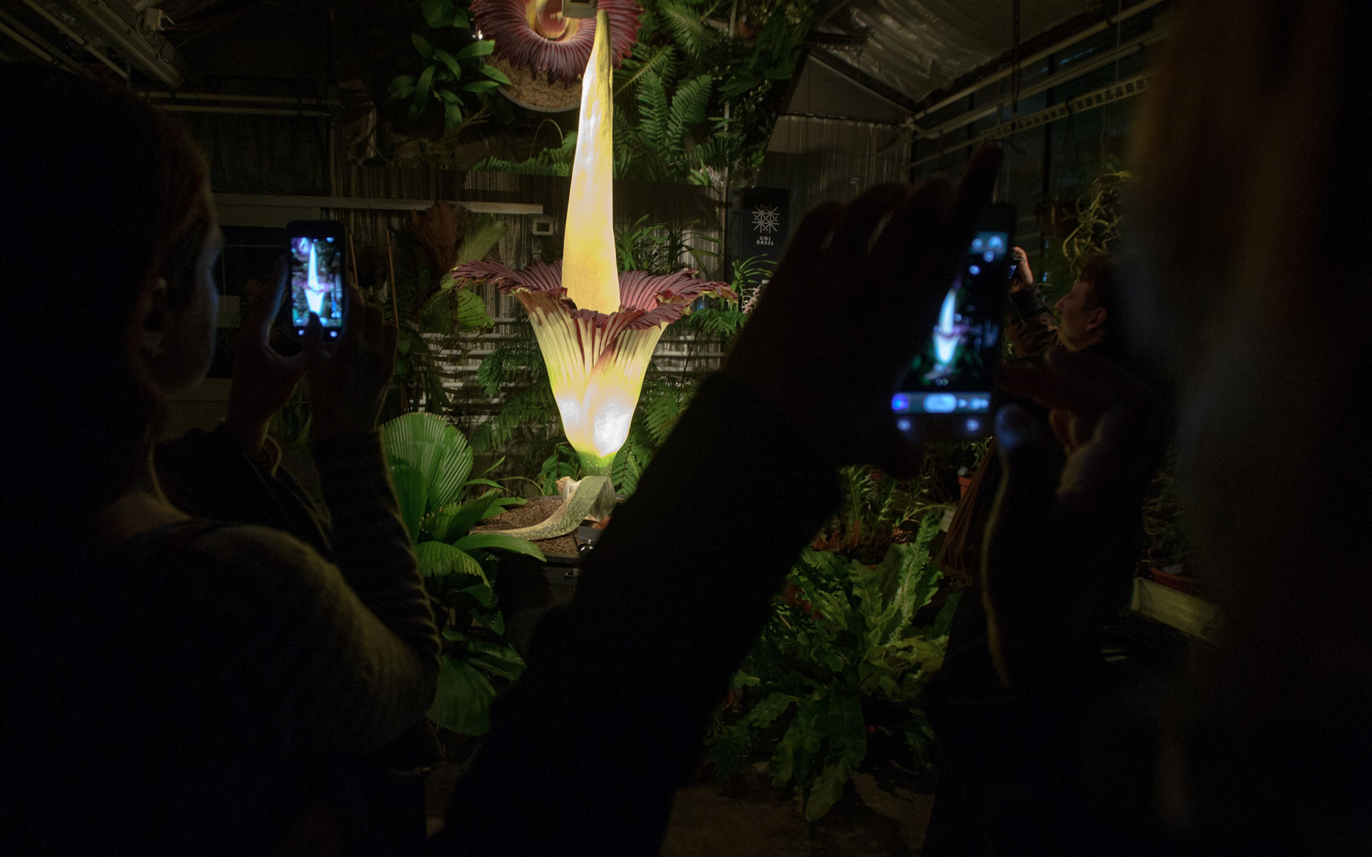 In Texas, a Giant, Smelly 'Corpse Flower' Named Morticia Bloomed: Watch the Video