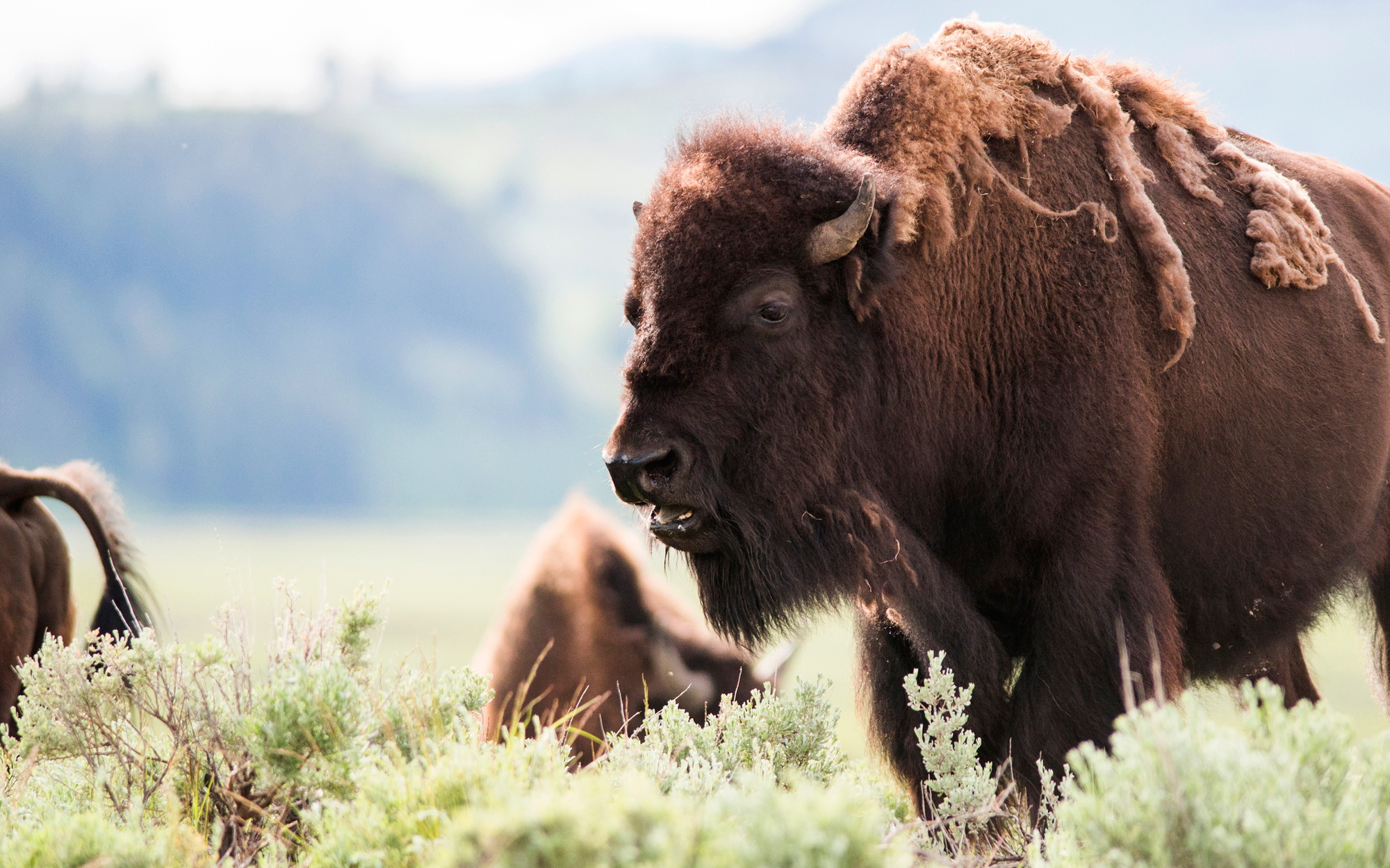 Yellowstone Gets a New Sign to Warn Visitors About Bison