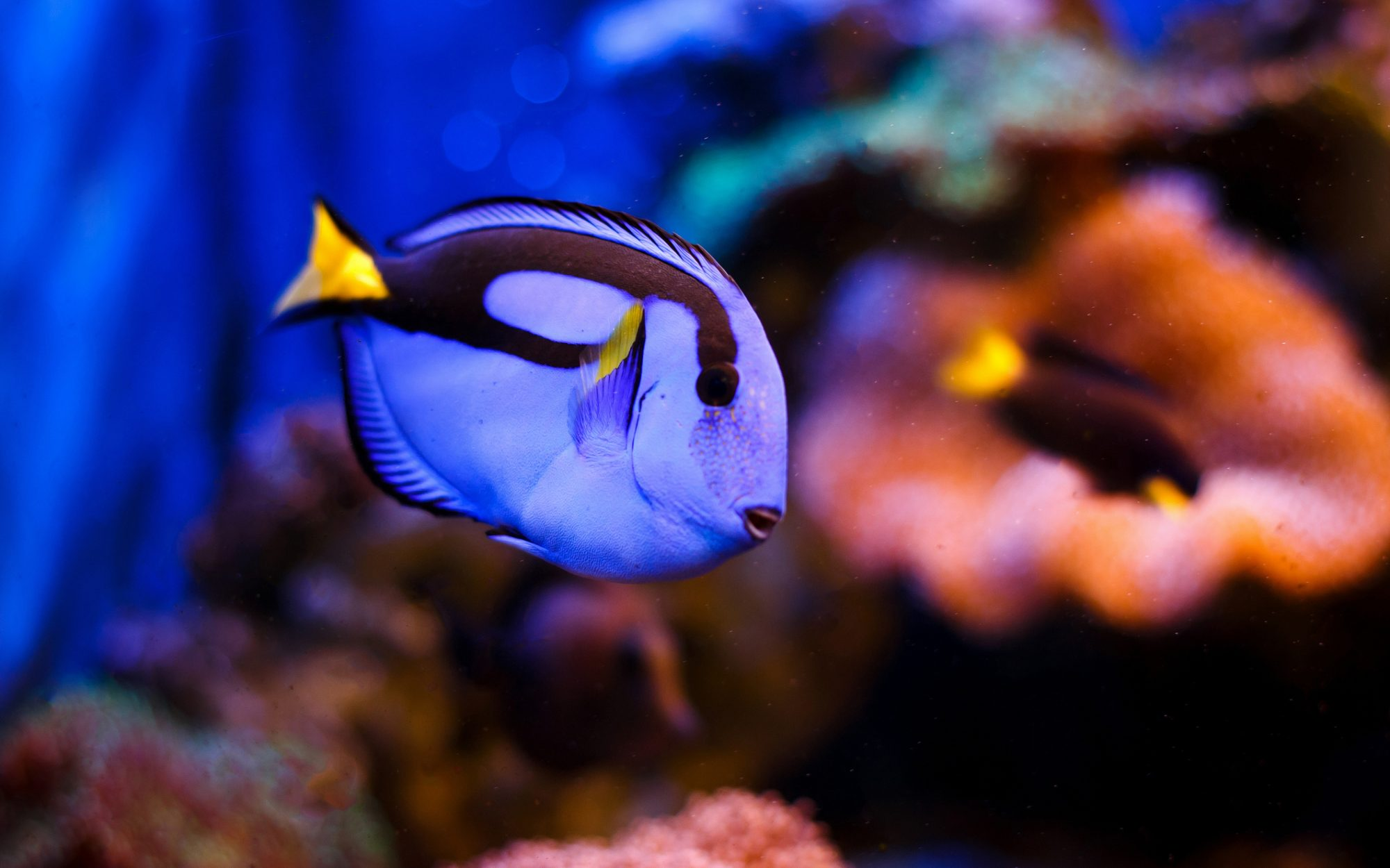 The 'Finding Dory' fish has been bred in captivity for the first time