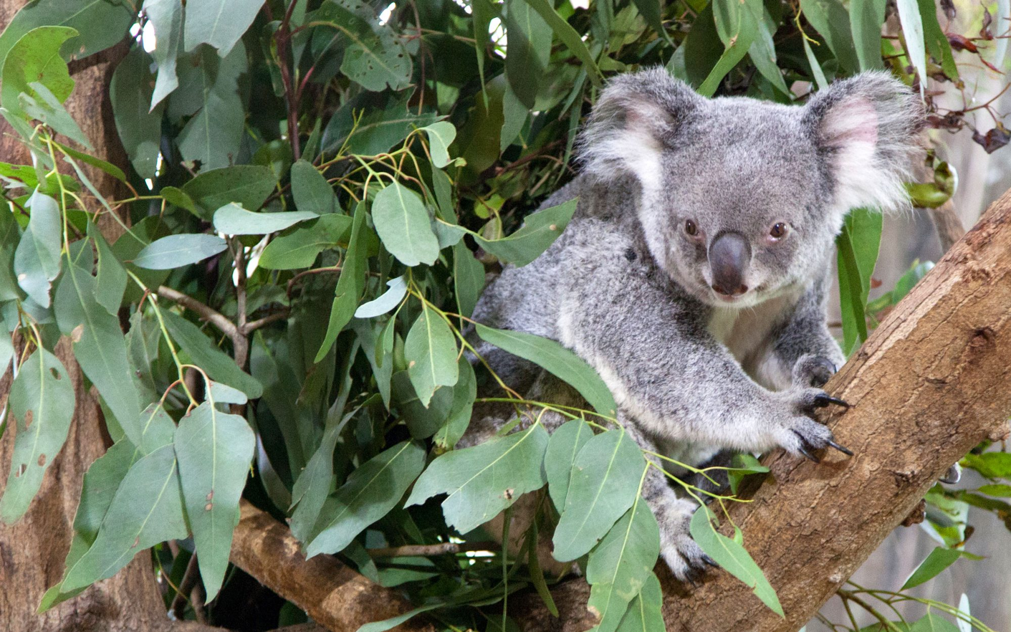 Koala breaks into house to chill on the couch