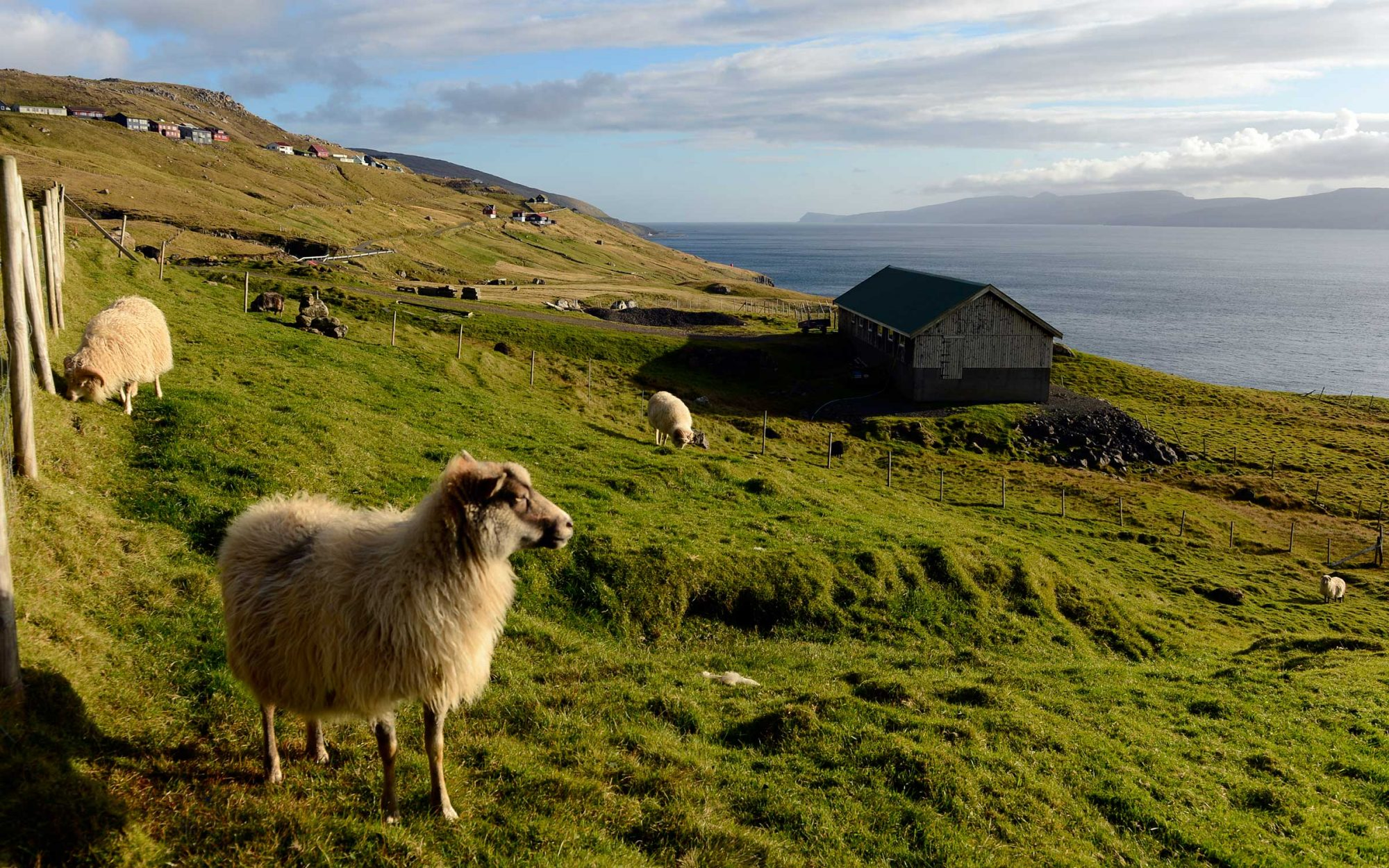 Faroe Islands Puts Cameras on Sheep Because They Don't Have Google Street View