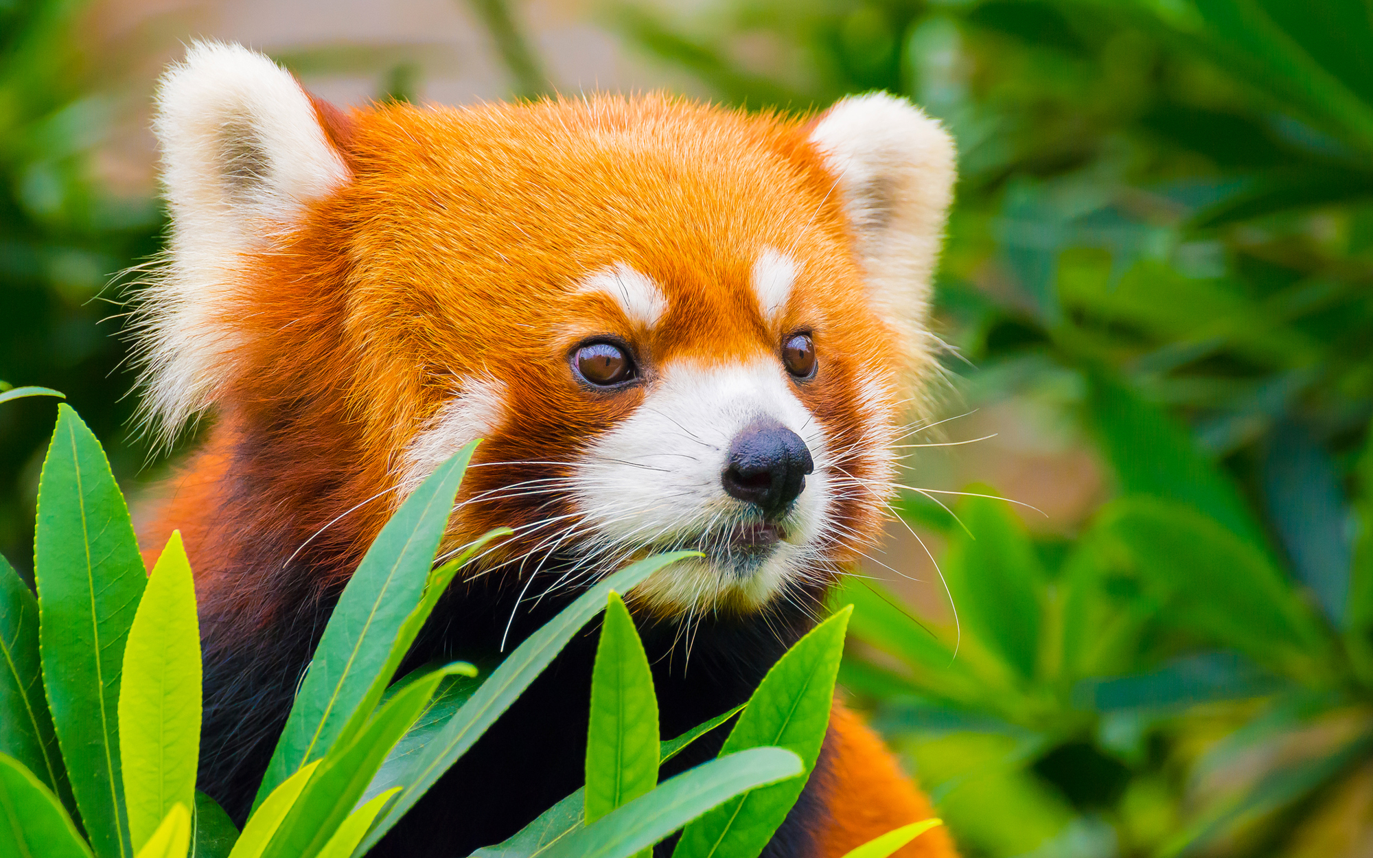 Red panda escaped the zoo, took an 8-month solo trip