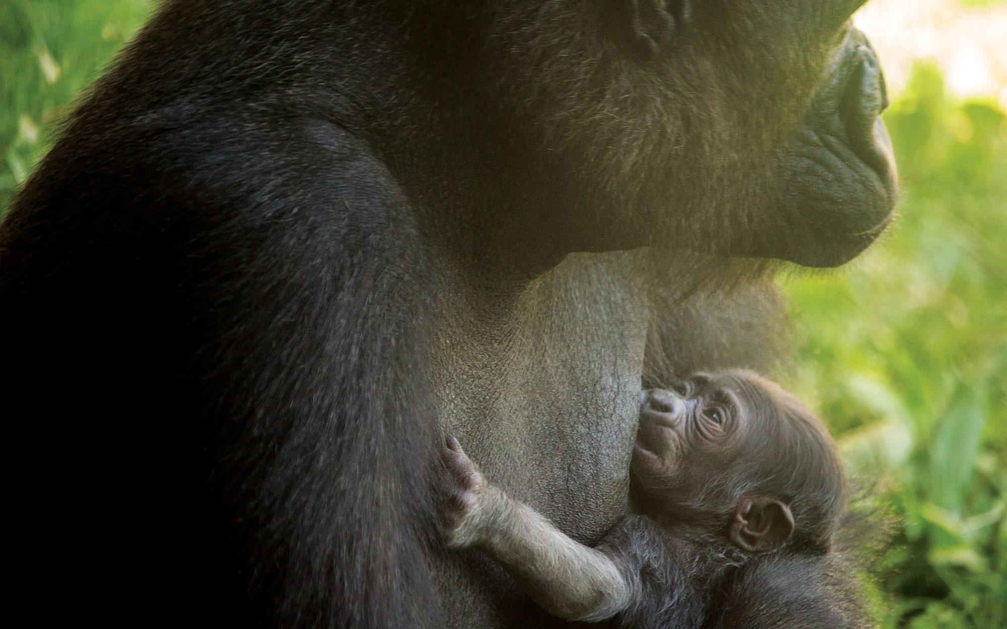A Baby Gorilla Was Just Born at the Philadelphia Zoo