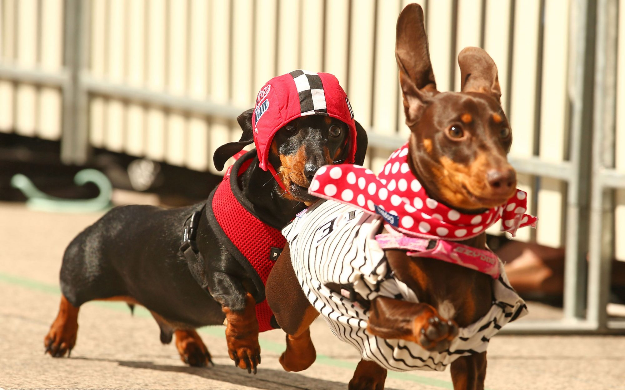 Dachshunds in Costumes. Racing. Really.