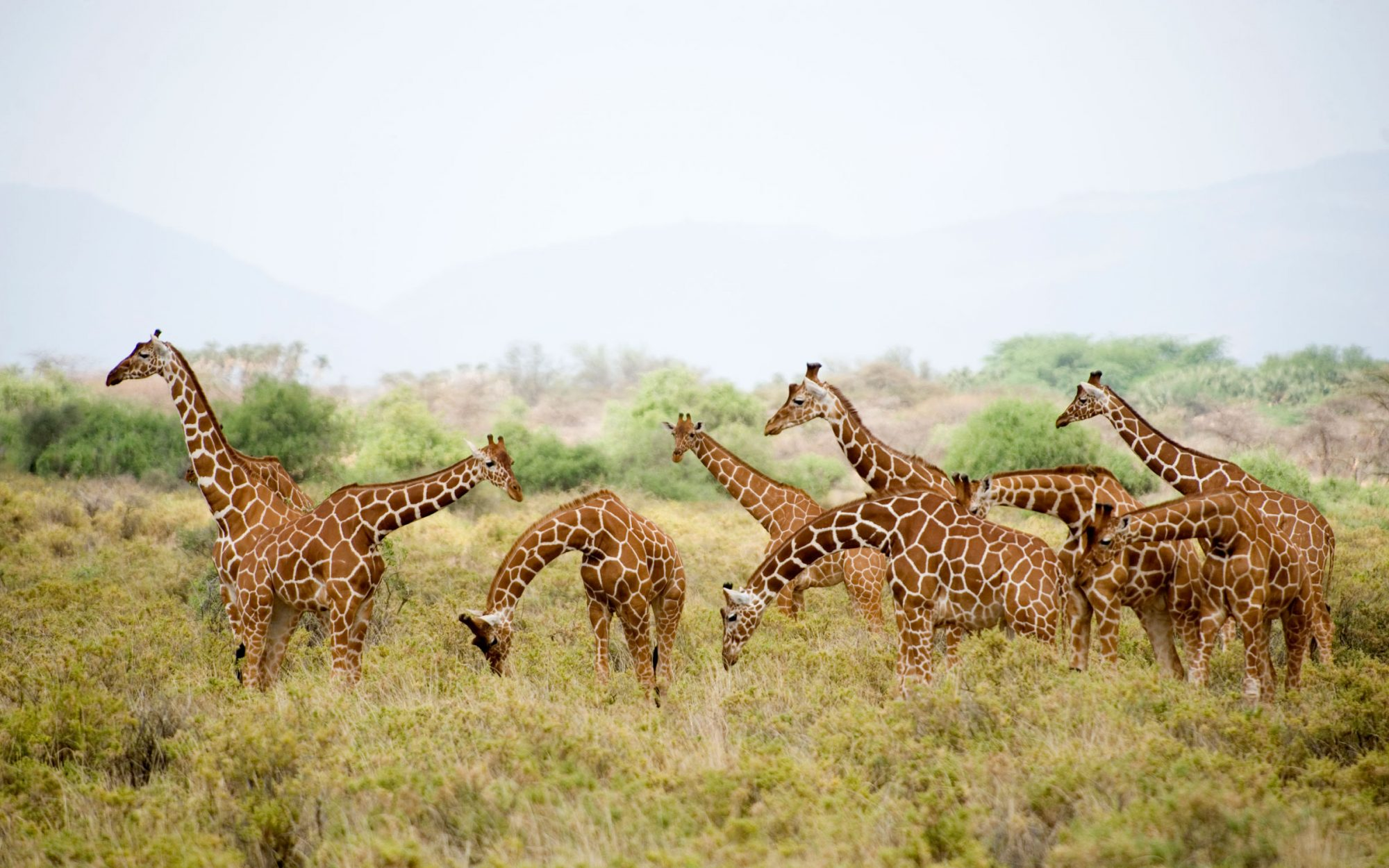 Surprise: There Are Actually Four Species of Giraffes