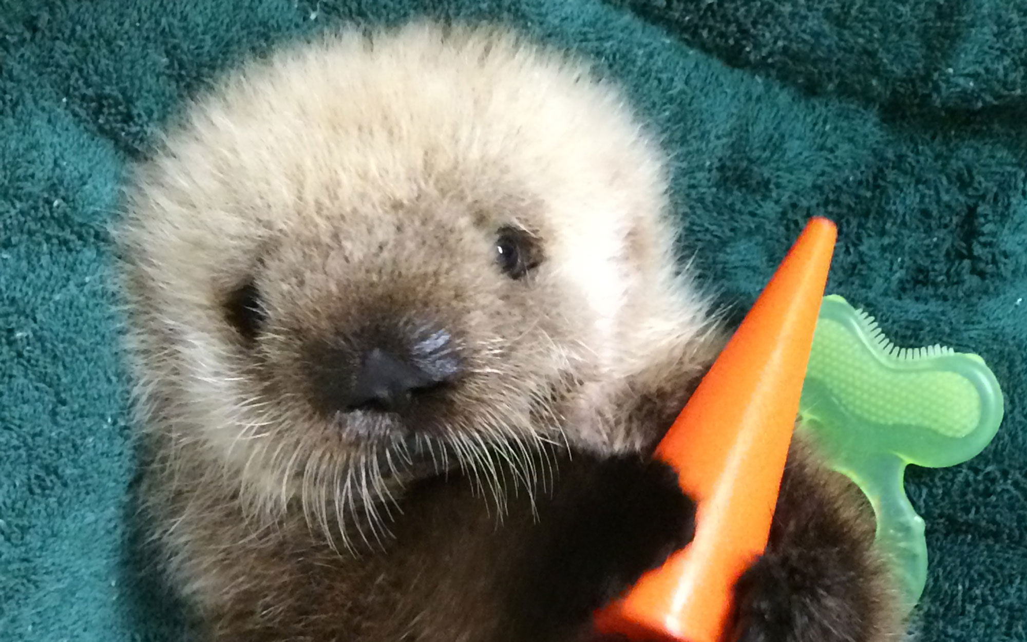 This Week in Cute Zoo Animal Births: a Sea Otter Transfer, Giant Panda Twins, and More