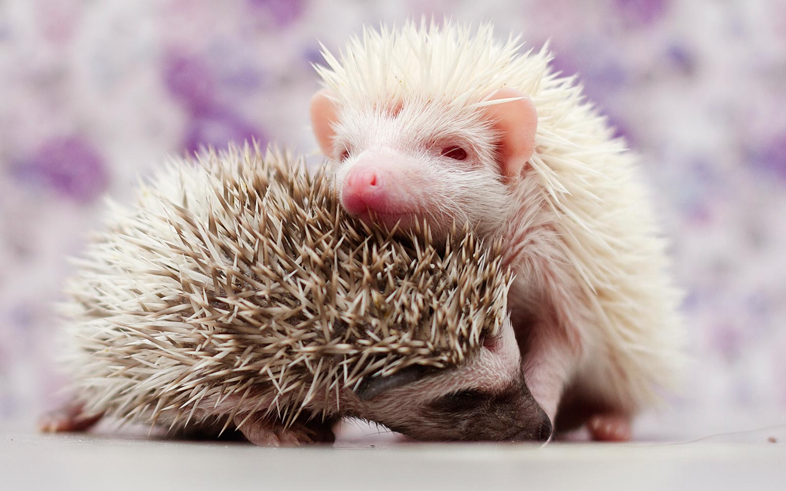 A Prickle of Hedgehogs Was Born at a Zoo in Indiana
