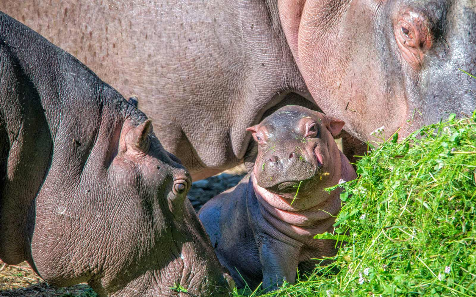 Facebook Named Italy's Newest Baby Hippo