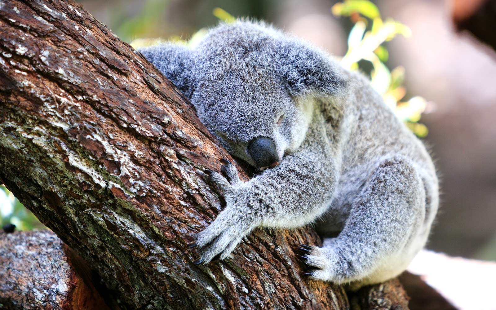 Watch a Baby Koala Attempt to Climb a Tree, and Fail