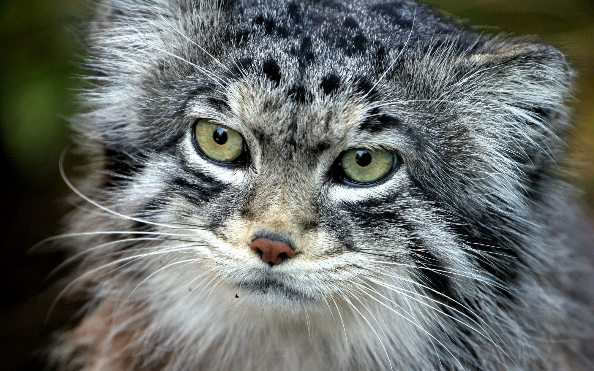 These Endangered Fluffy Cats Are About to Get a New Siberian Home