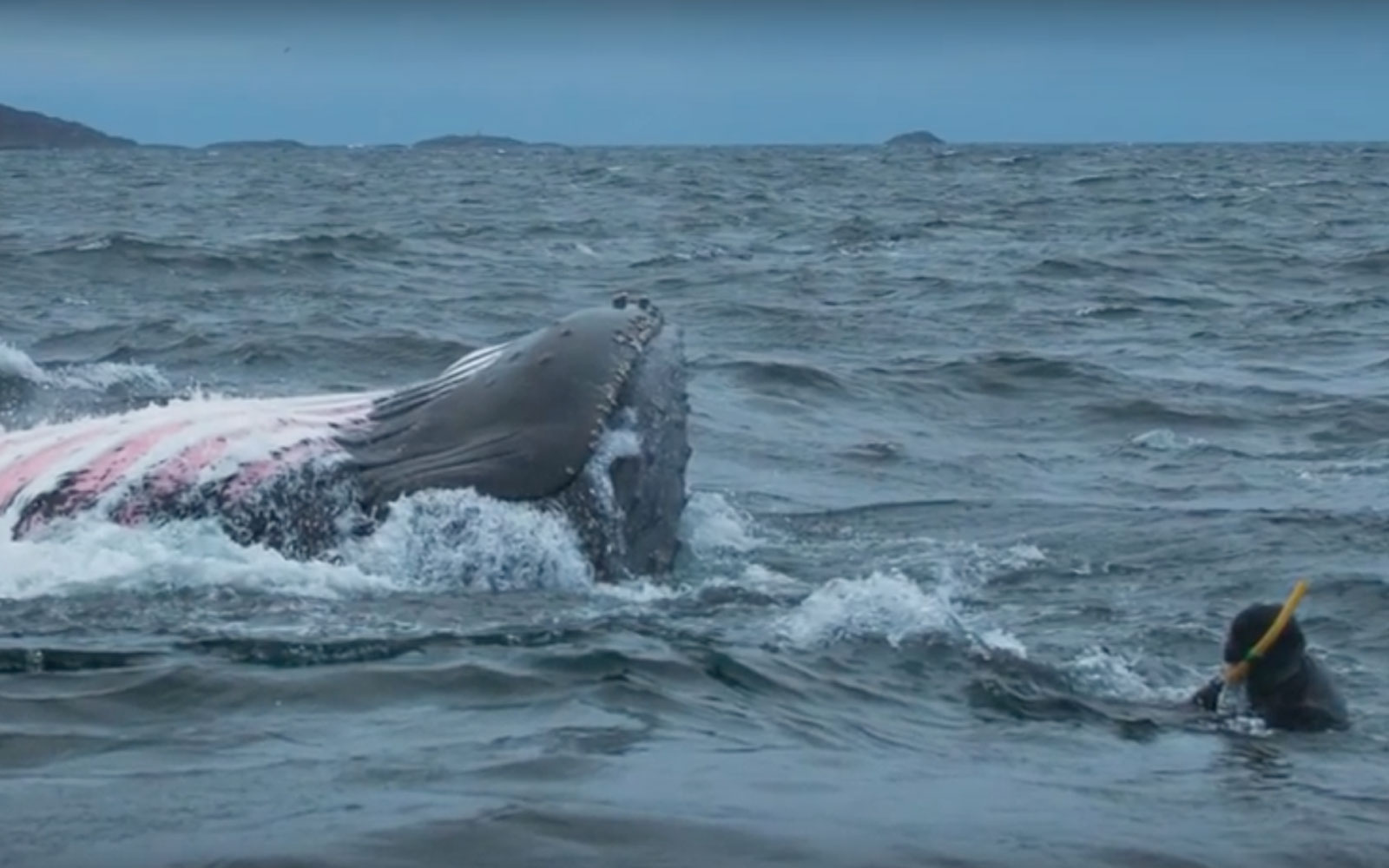 Diver Nearly Engulfed by 35,000-pound Humpback Whale