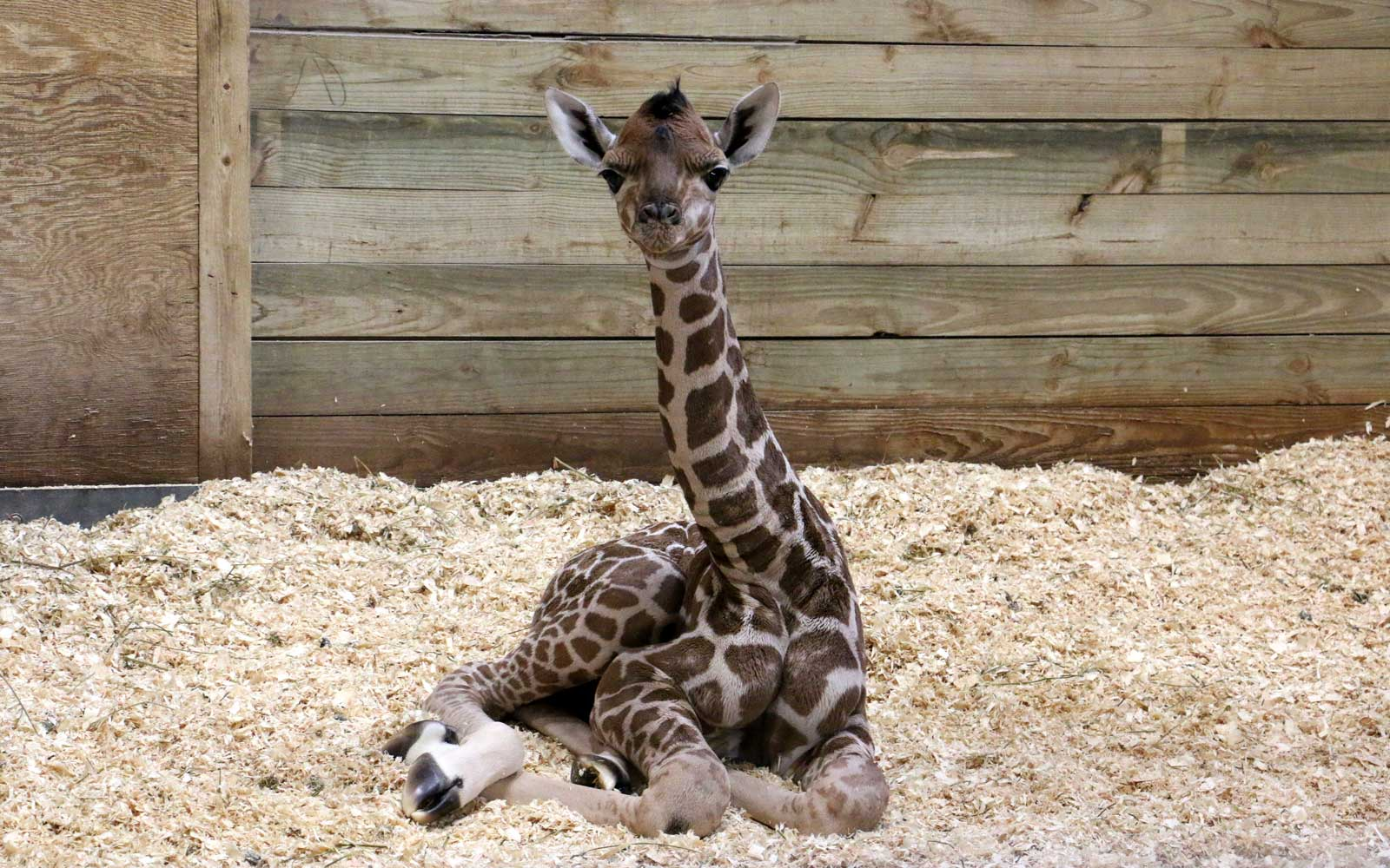 A Baby Giraffe Was Born at a Zoo in Des Moines