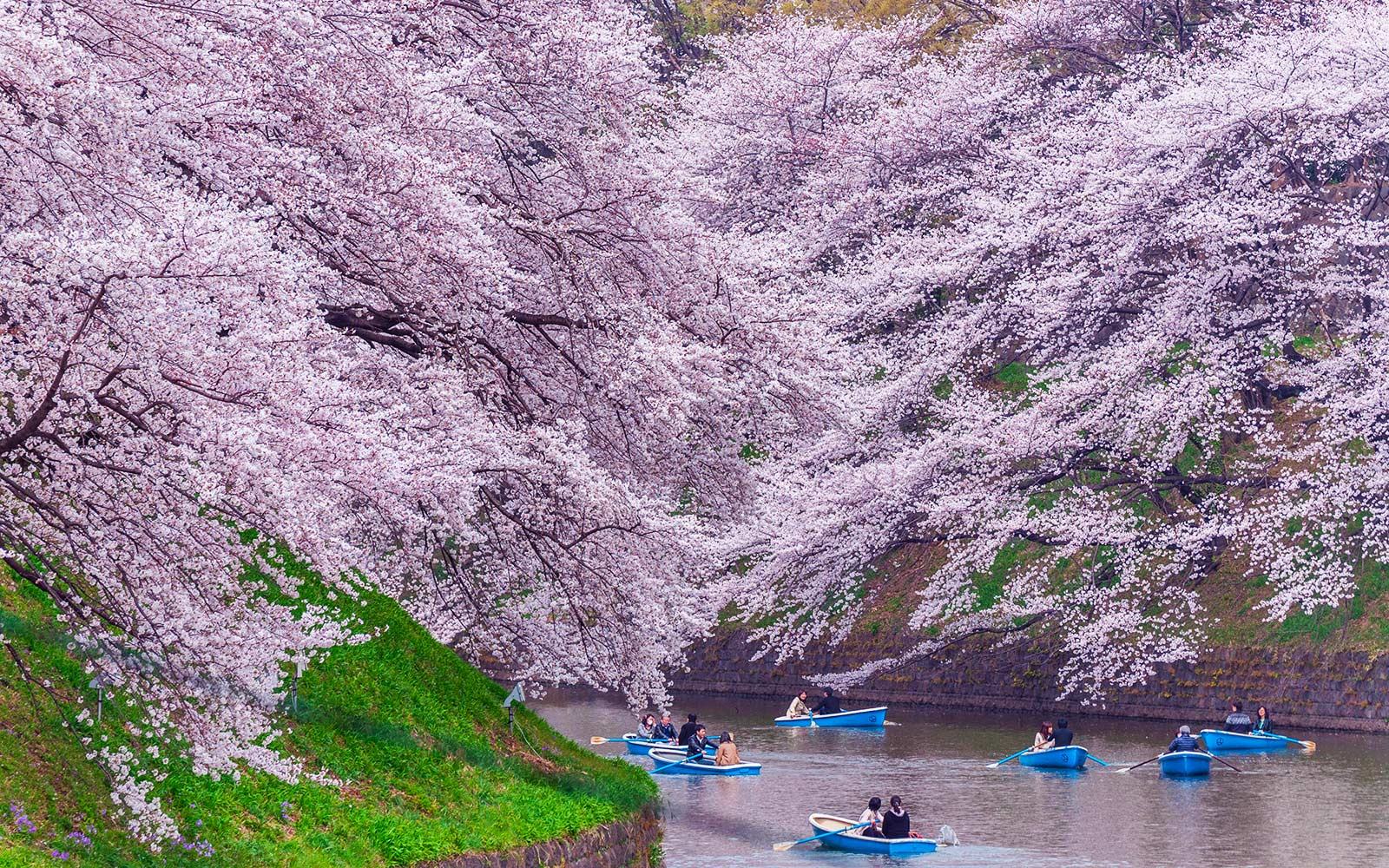 Forecast Reveals When to Catch the Cherry Blossoms in Japan This Spring