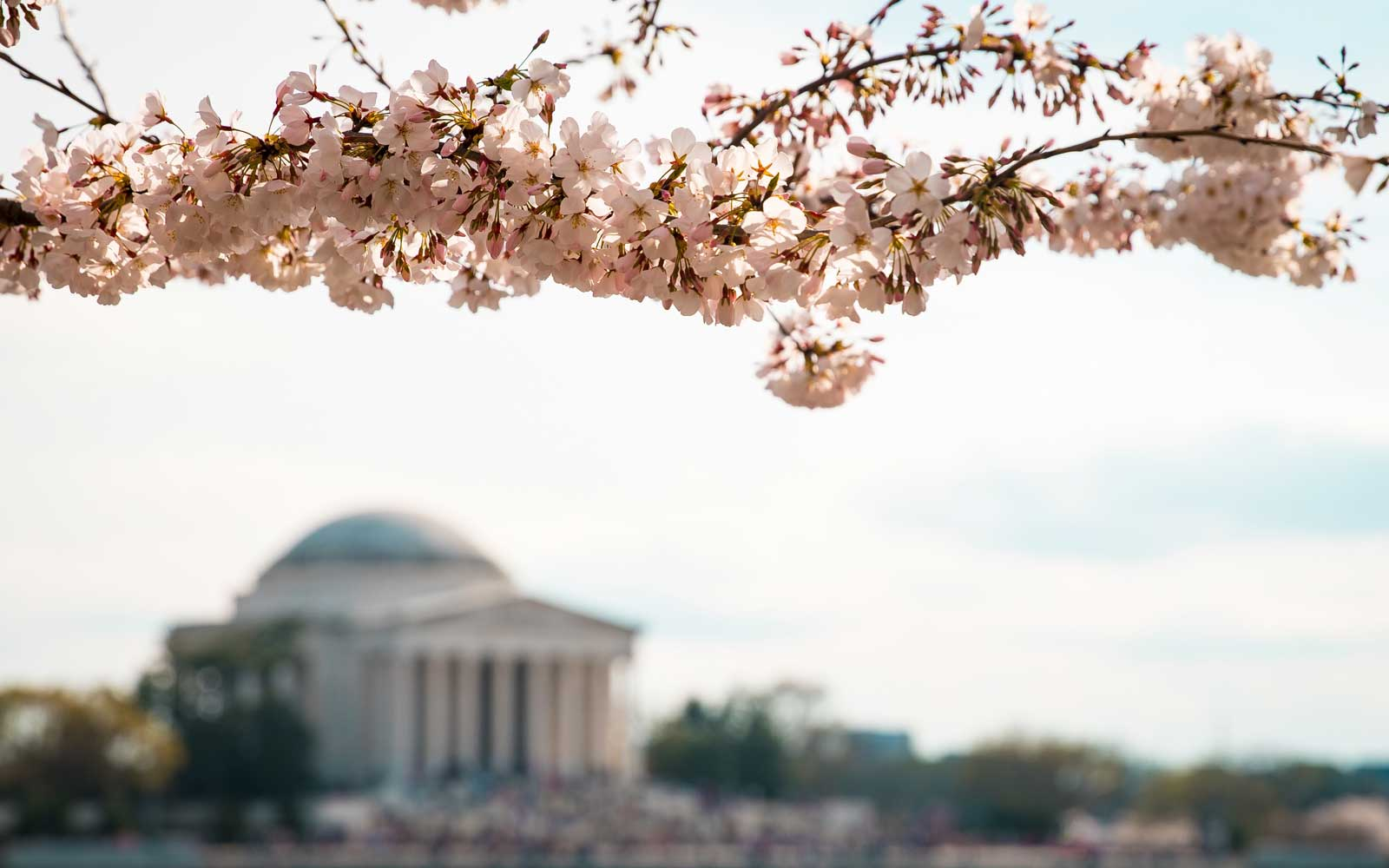 Cherry Blossom Trees in Washington, D.C. Bloom Weeks Early